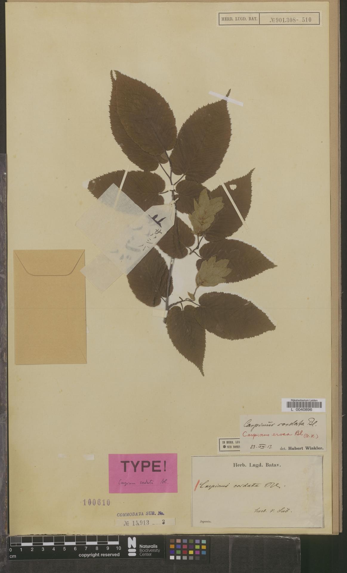 L  0040896 | Carpinus cordata Blume