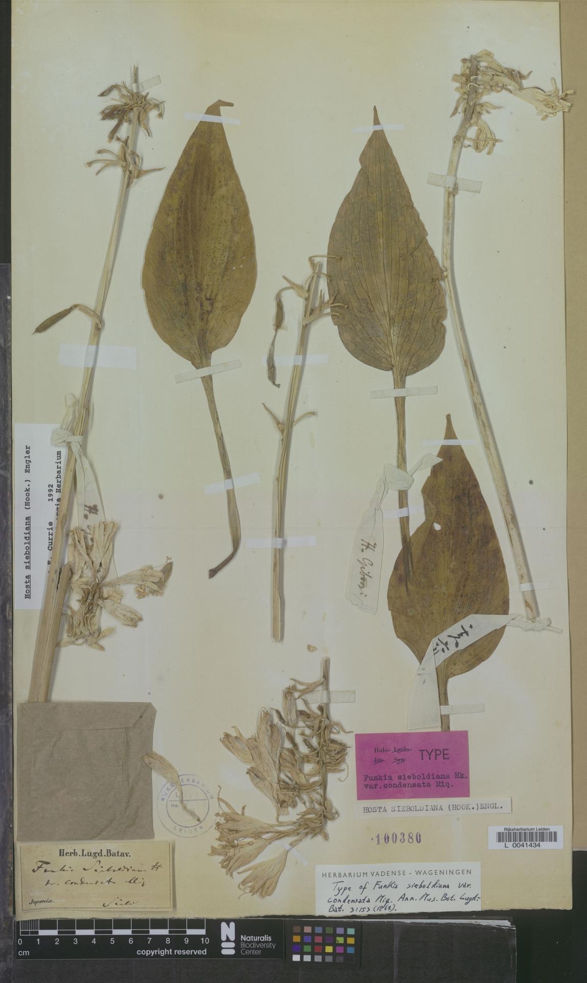 L  0041434 | Hosta sieboldiana (Hook.) Engl.