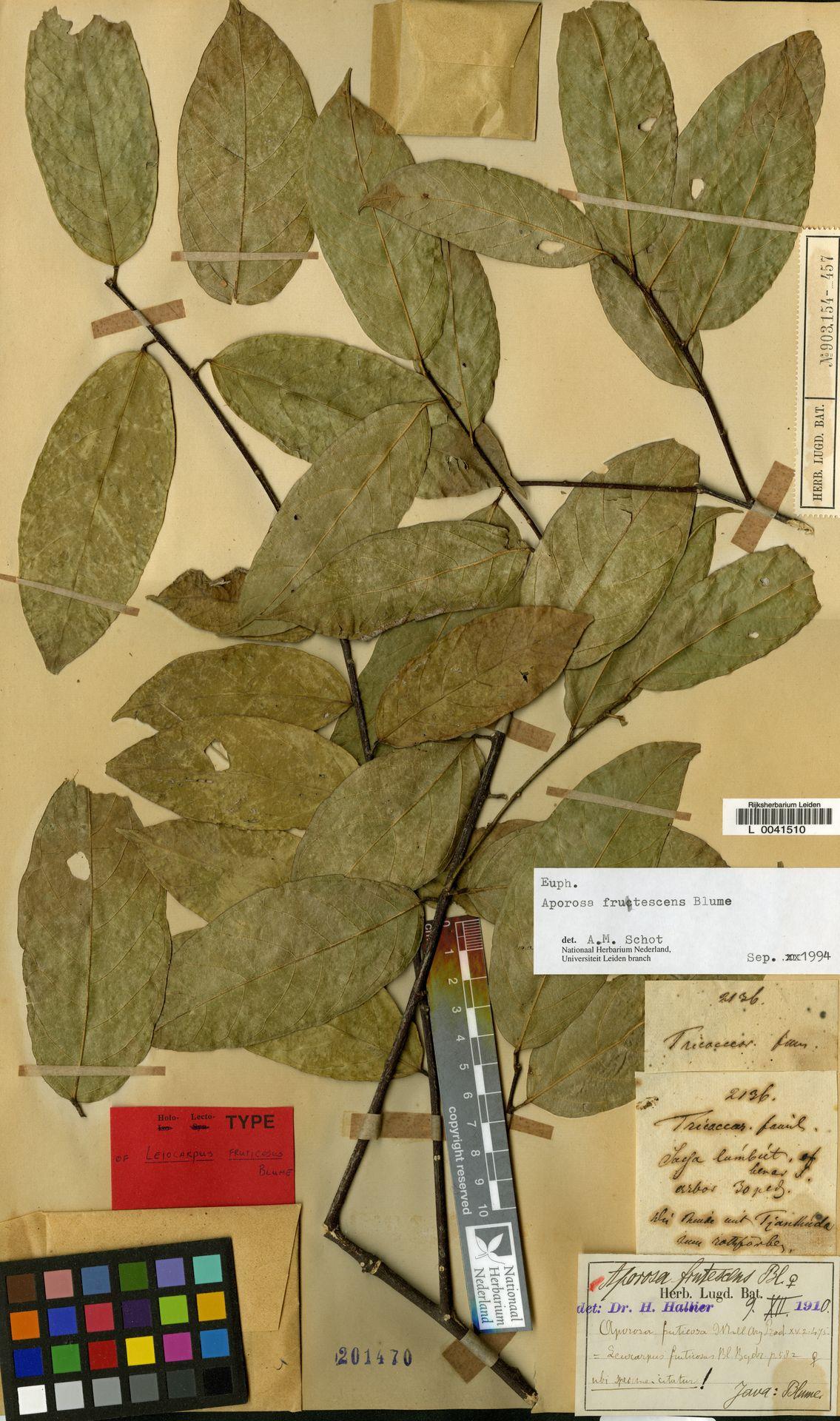 L  0041510 | Aporosa frutescens Blume