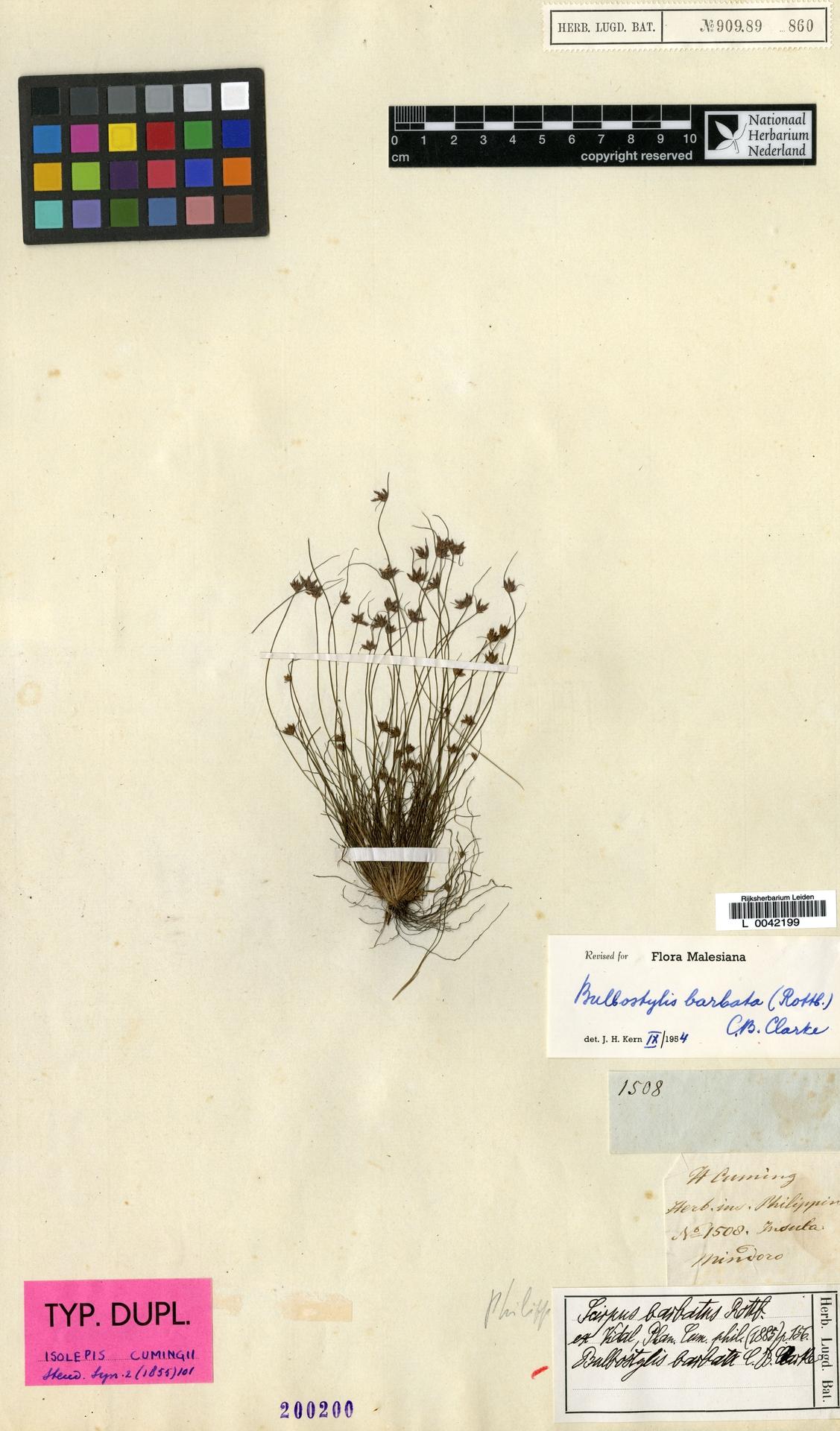 L  0042199 | Bulbostylis barbata (Rottb.) C.B.Clarke