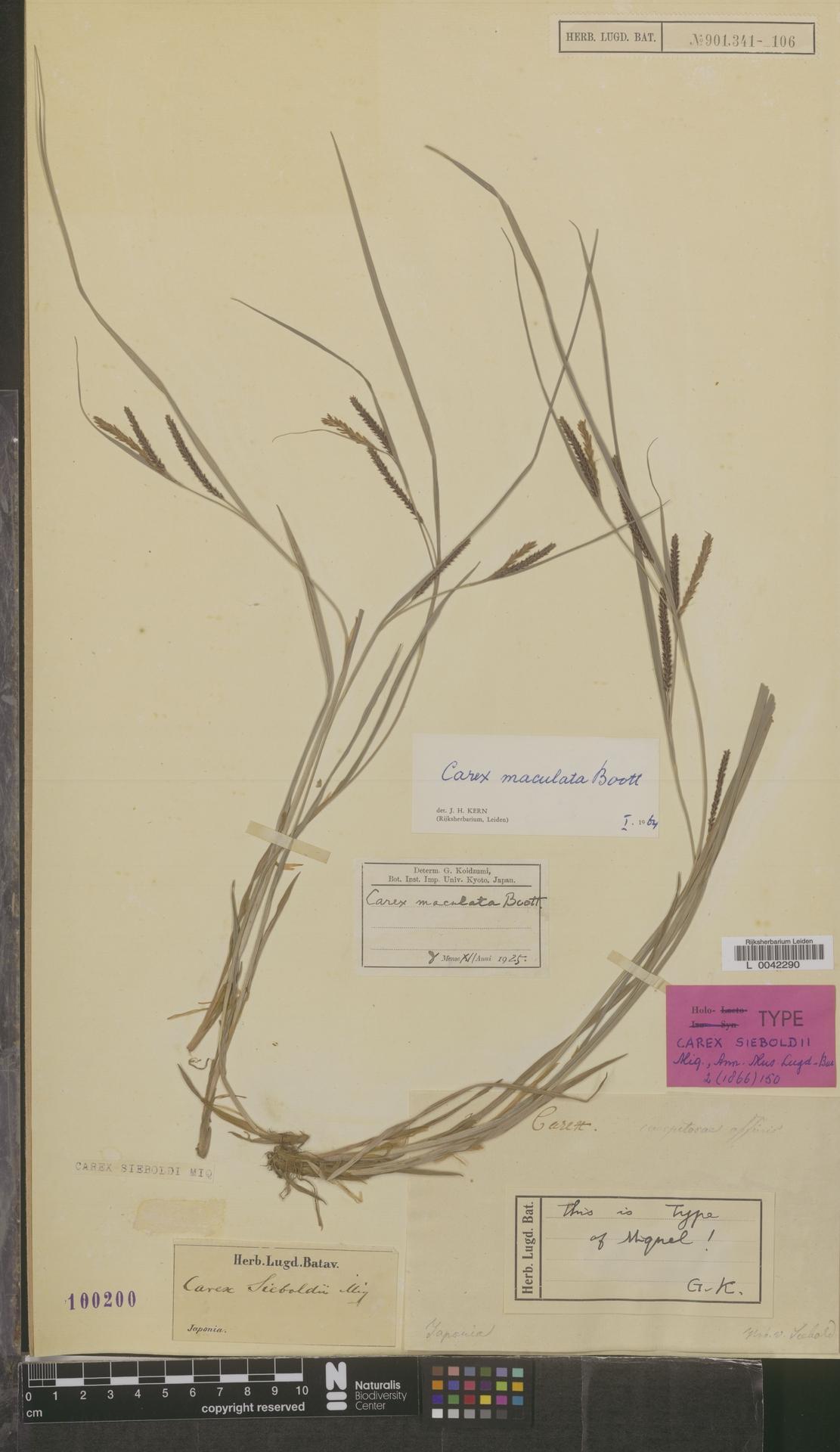 L  0042290 | Carex maculata Boott