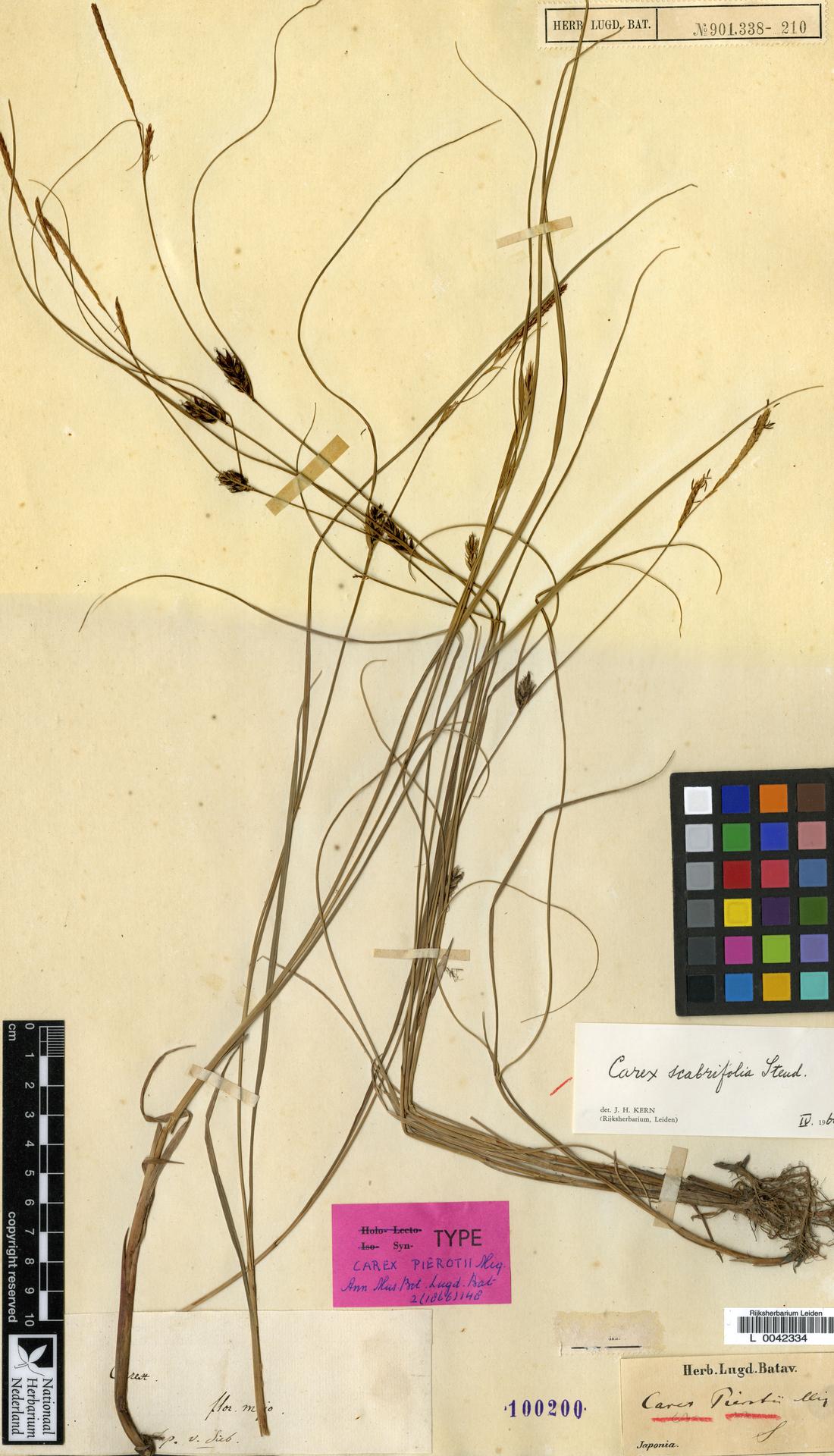 L  0042334 | Carex scabrifolia Steud.