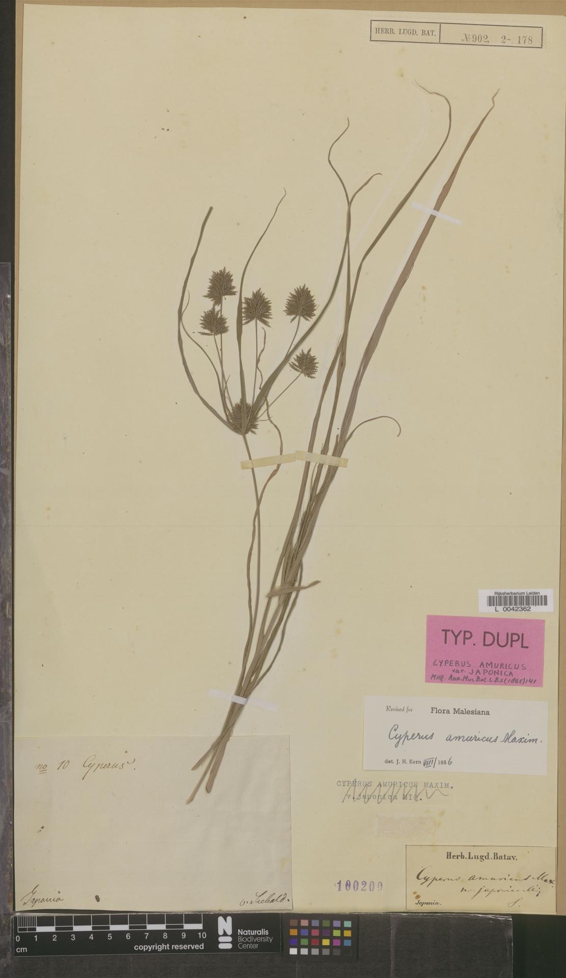 L  0042362 | Cyperus amuricus Maxim.