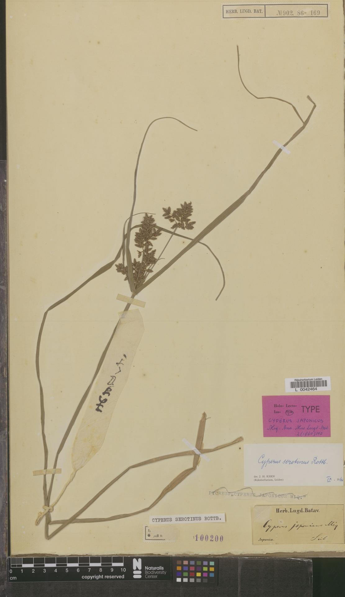L  0042464   Cyperus serotinus Rottb.