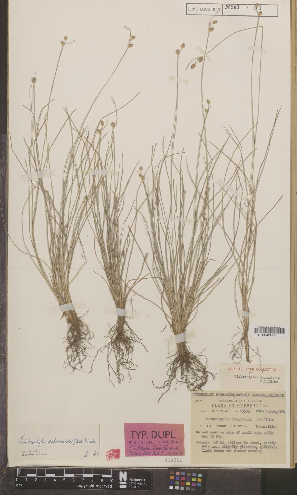 L  0042602 | Fimbristylis schoenoides (Retz.) Vahl
