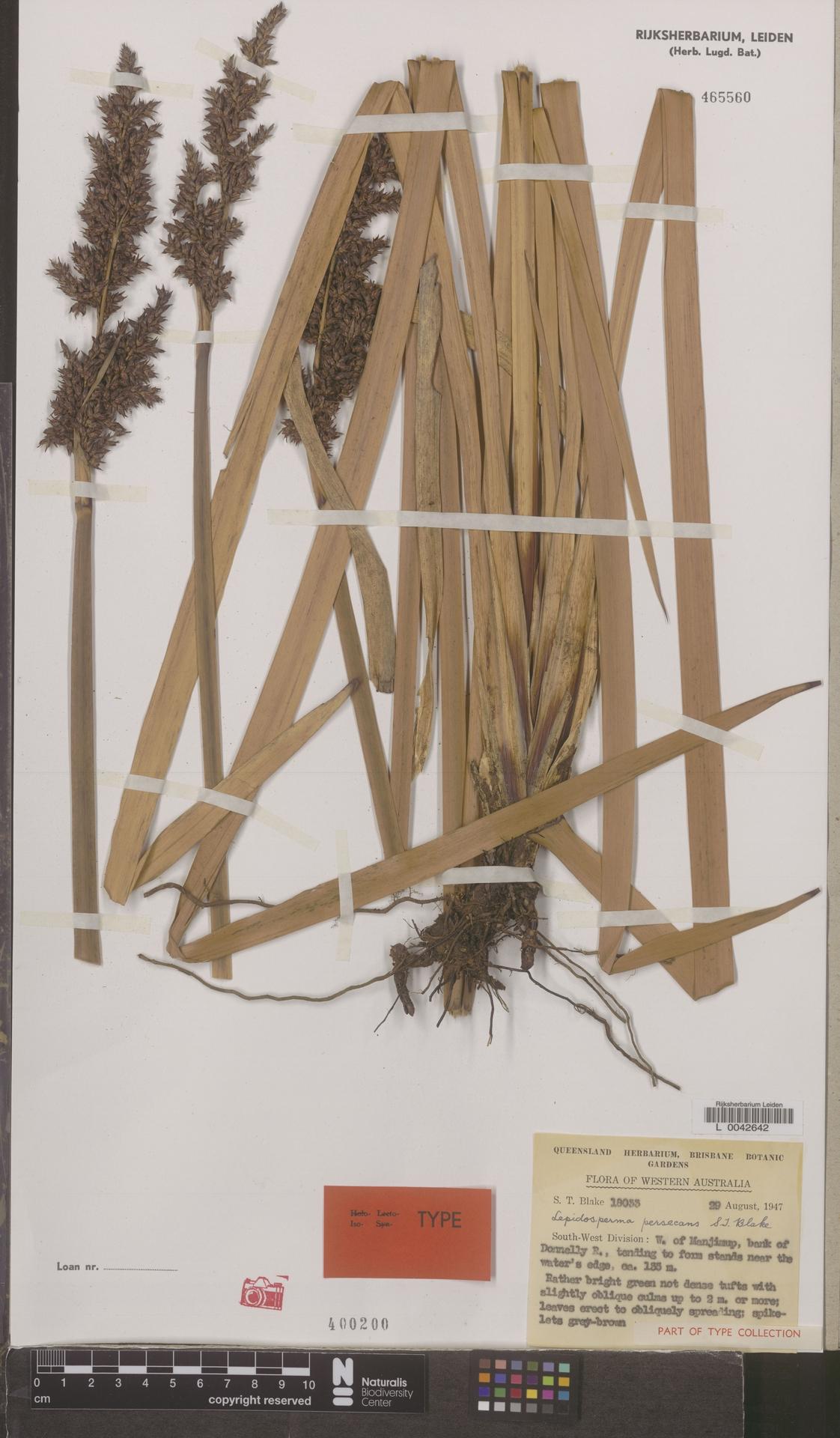 L  0042642 | Lepidosperma persecans S.T.Blake