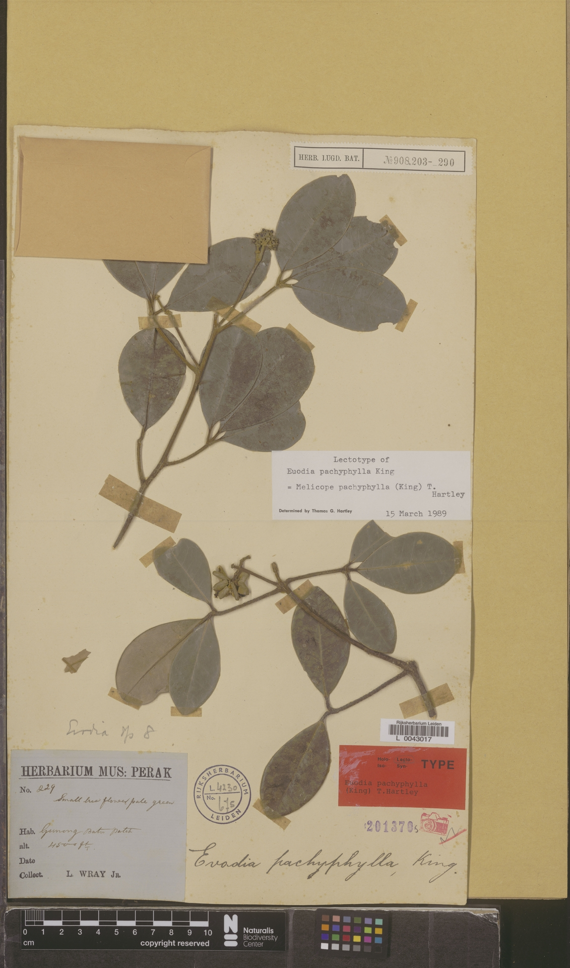 L  0043017 | Melicope pachyphylla (King) T.G.Hartley