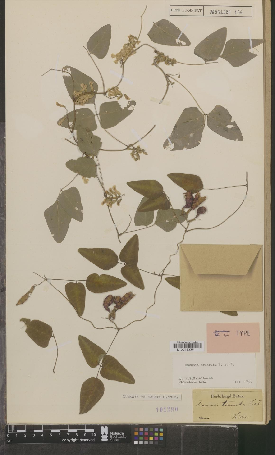 L  0043336 | Dumasia truncata Siebold & Zucc.