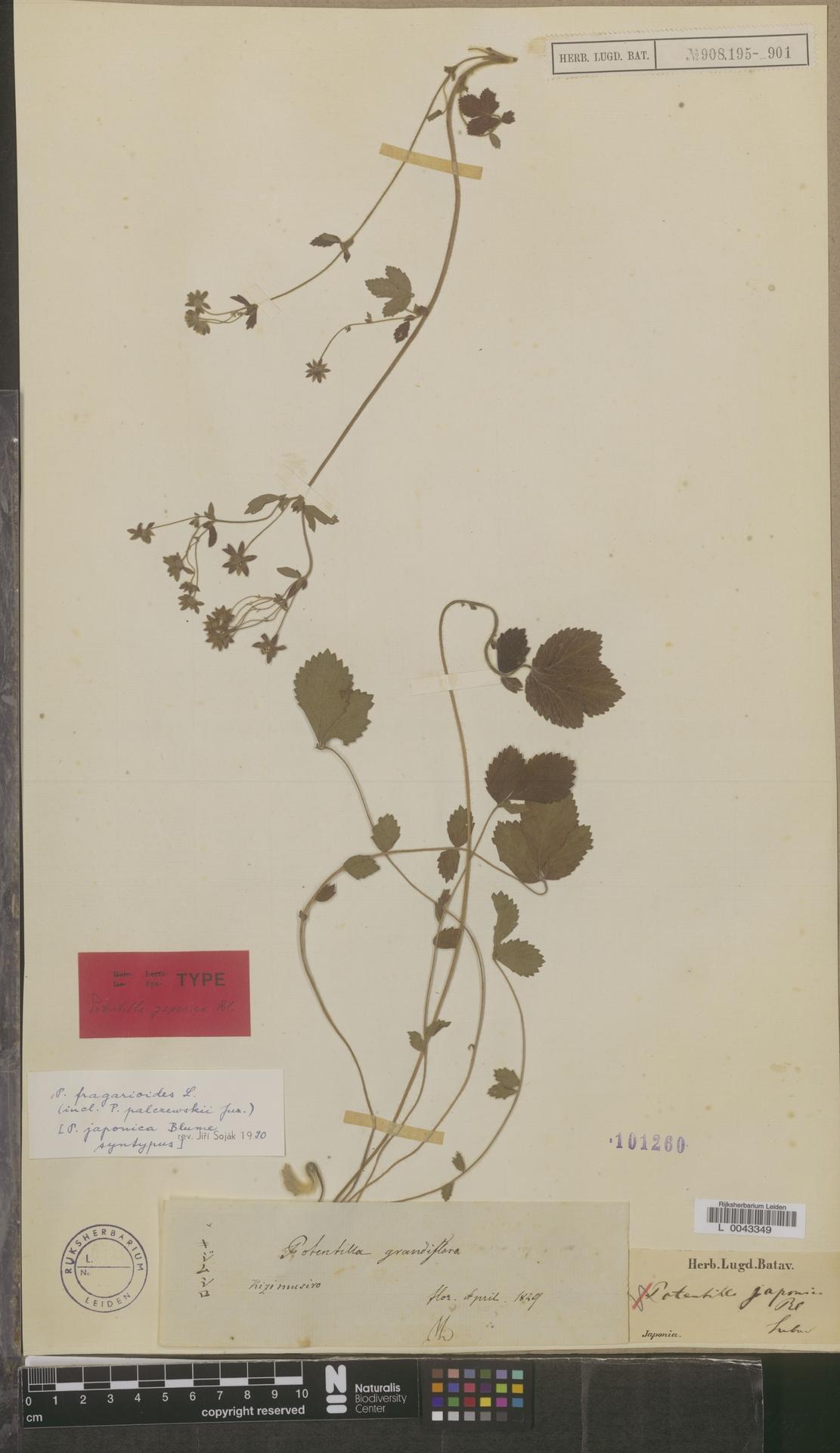 L  0043349 | Potentilla fragarioides L.