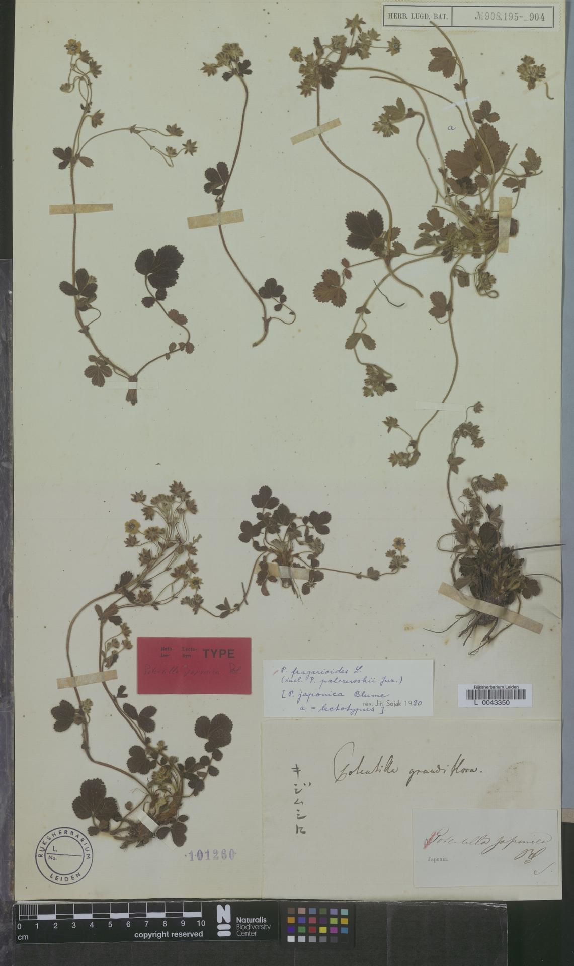 L  0043350 | Potentilla fragarioides L.