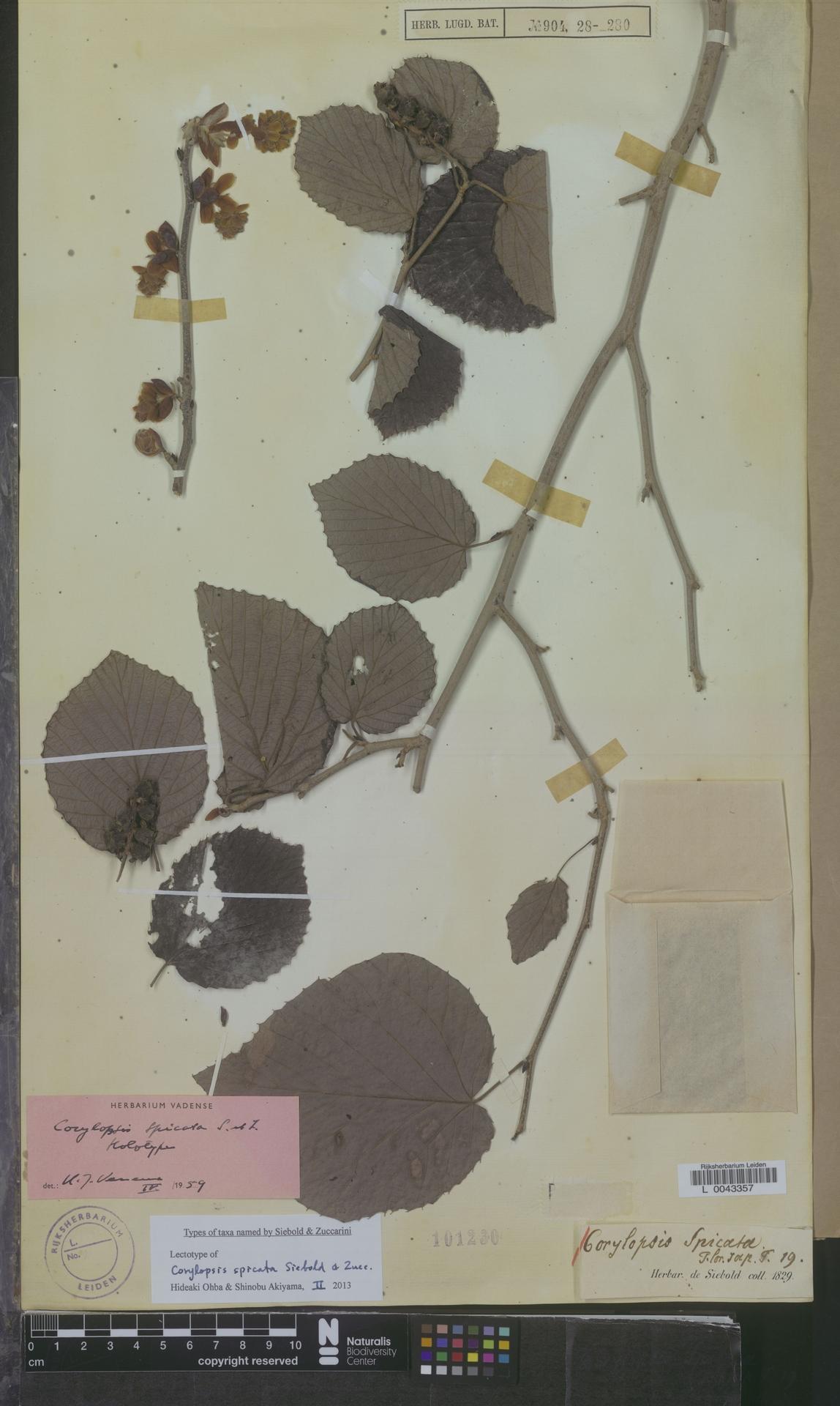 L  0043357 | Corylopsis spicata Siebold & Zucc.