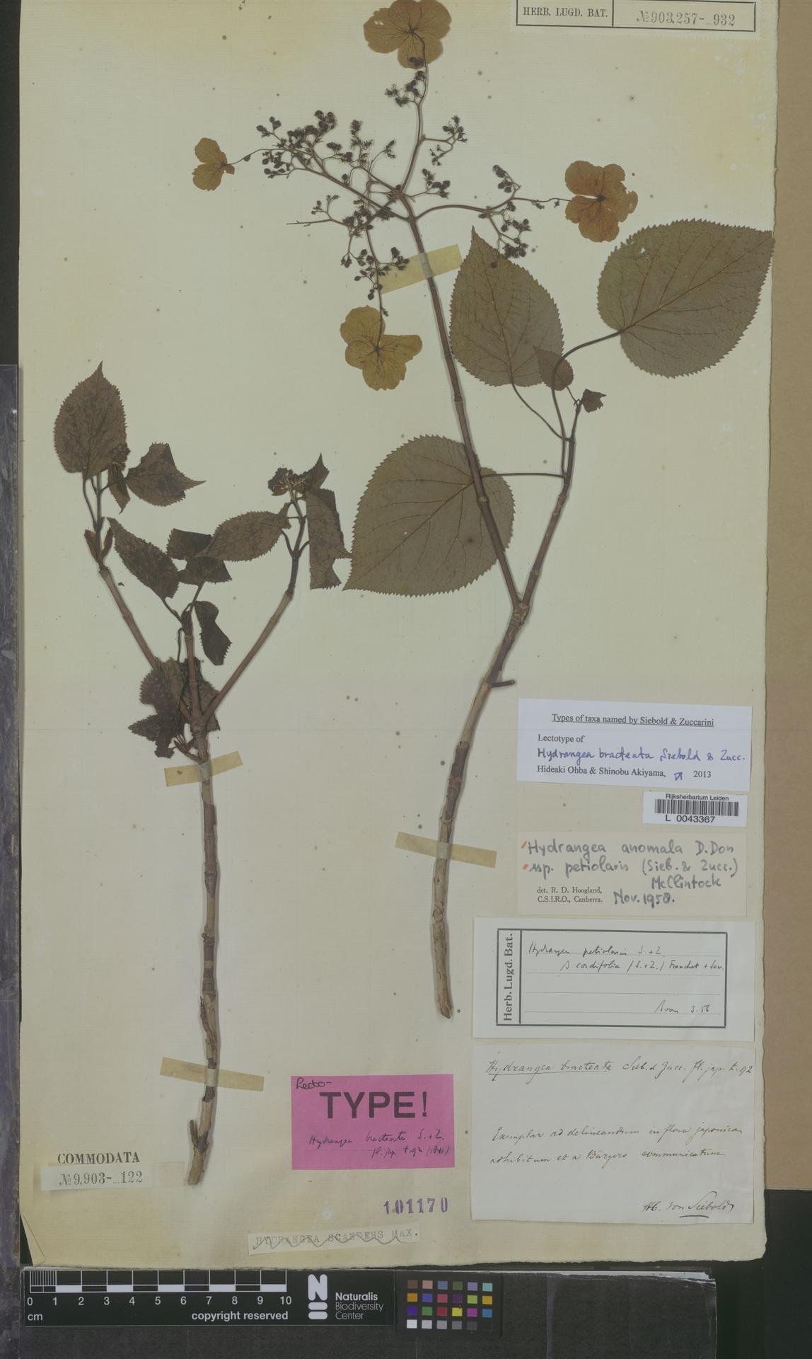 L  0043367 | Hydrangea anomala subsp. petiolaris (Siebold & Zucc.) McClint.
