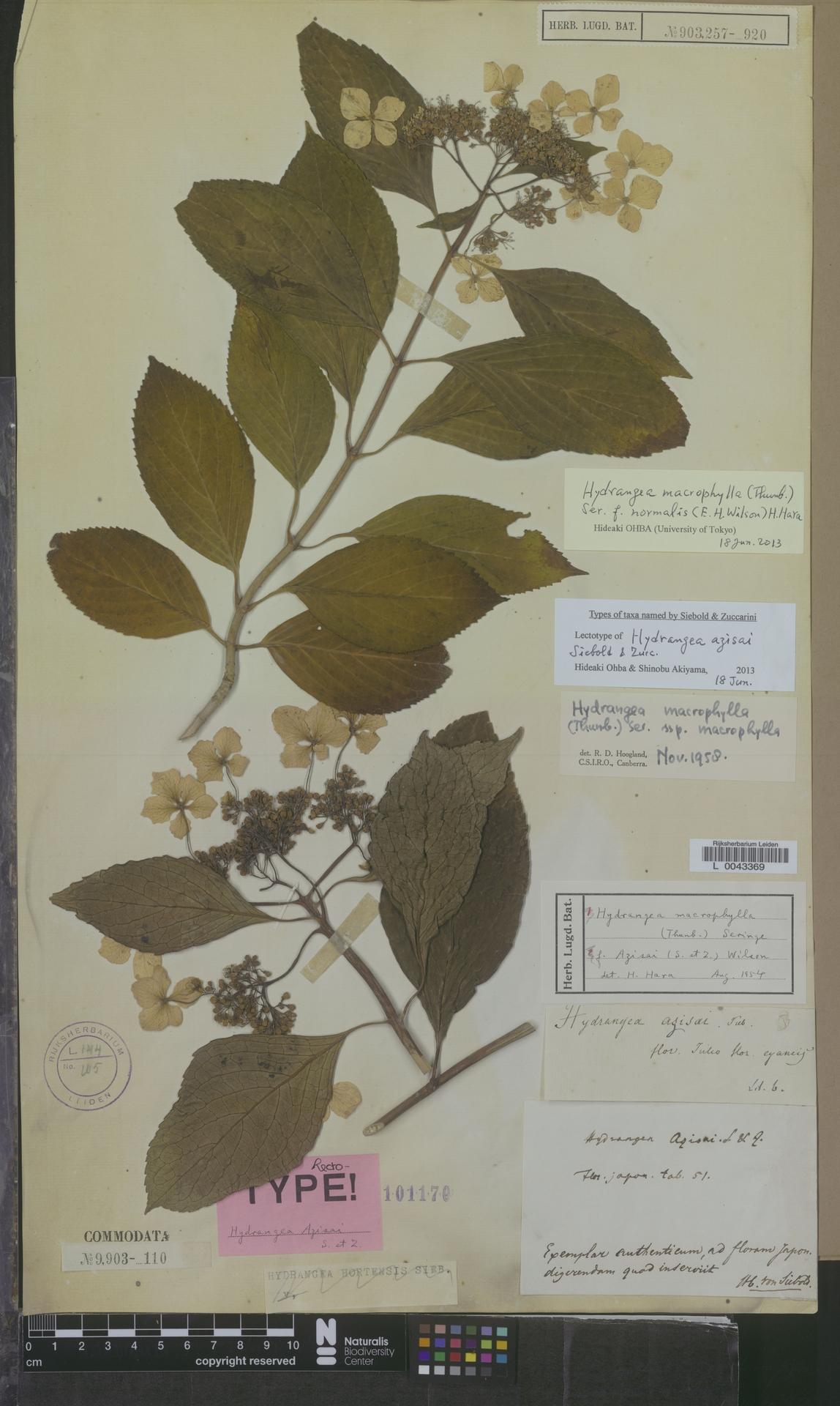 L  0043369 | Hydrangea macrophylla f. normalis