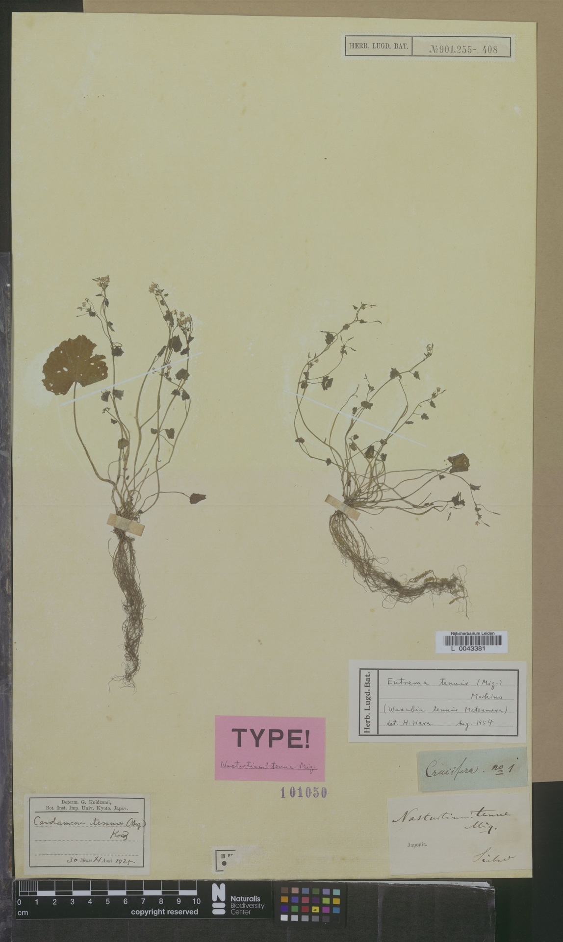 L  0043381 | Eutrema tenuis (Miq.) Makino