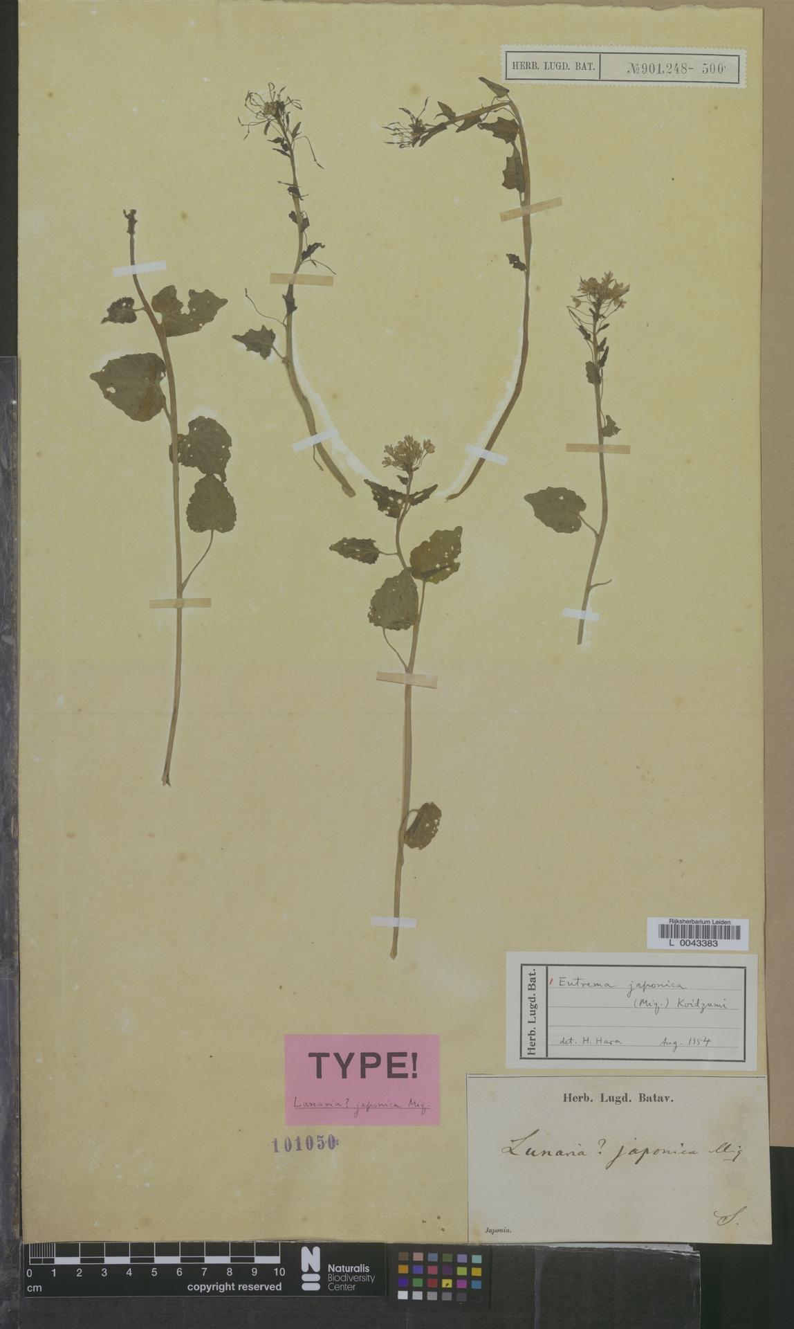 L  0043383 | Eutrema japonica (Miq.) Koidz.