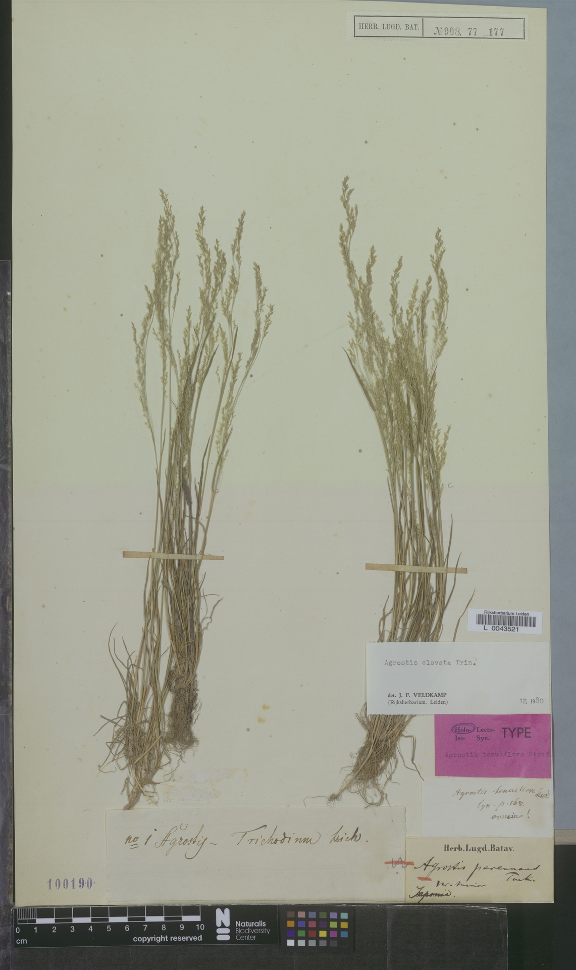 L  0043521 | Agrostis clavata Trin.
