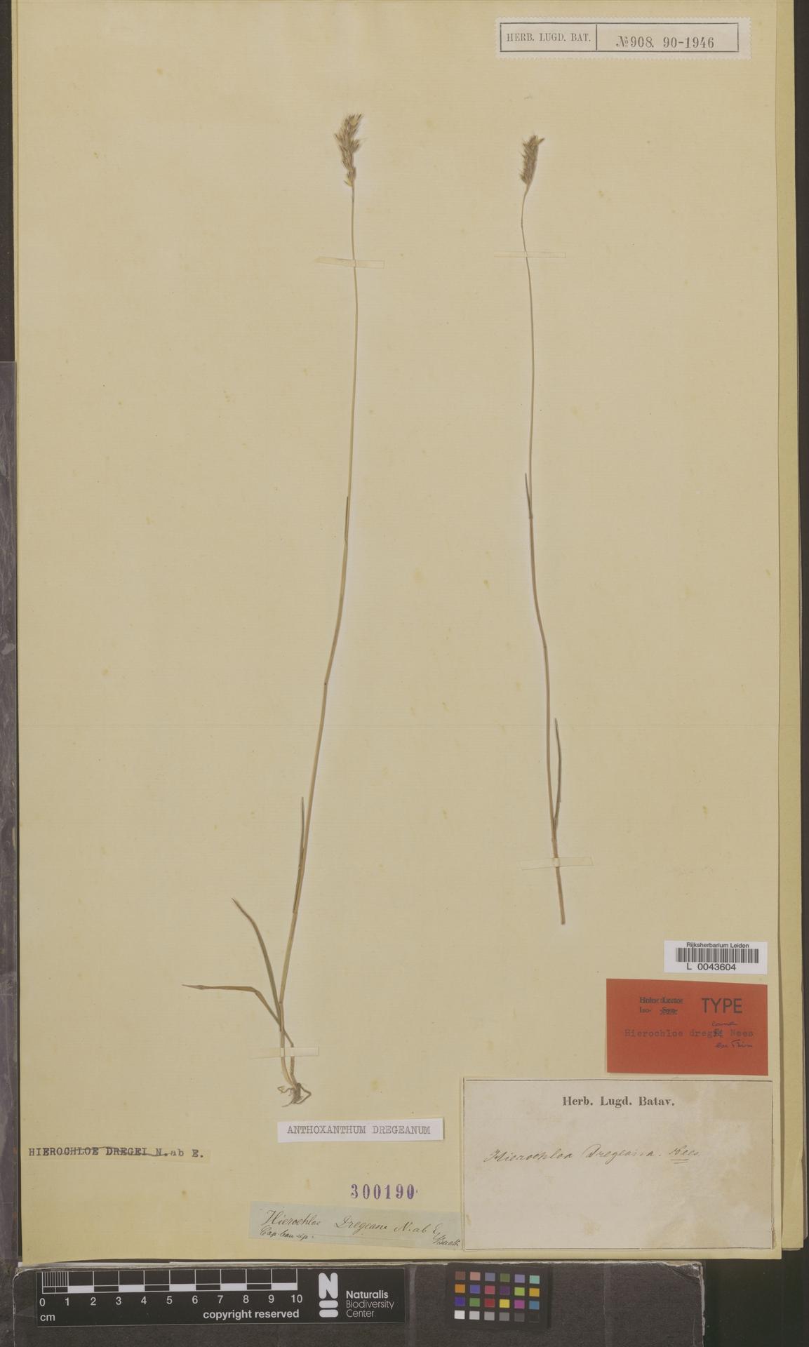 L  0043604 | Anthoxanthum dregeanum (Nees ex Trin.) Stapf