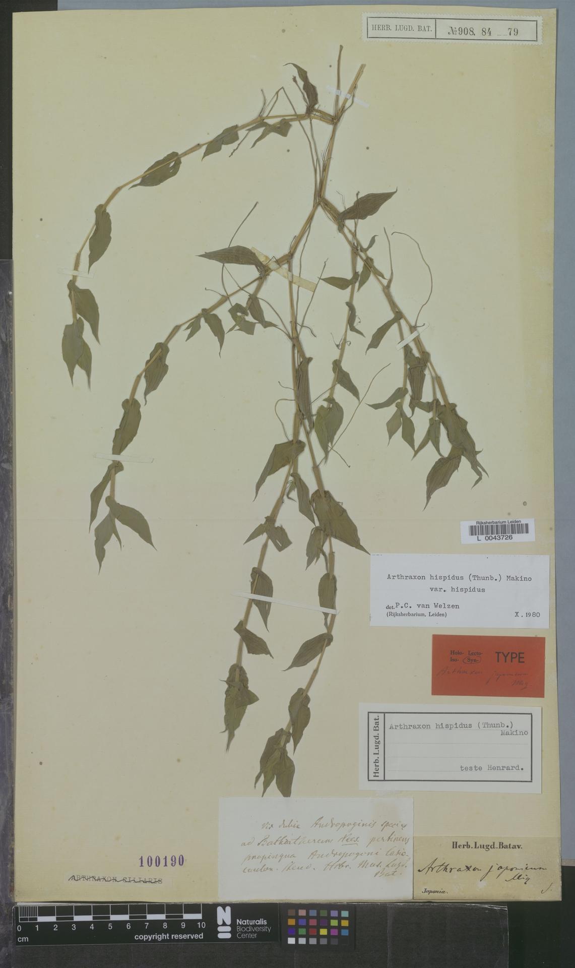 L  0043726 | Arthraxon hispidus var. hispidus