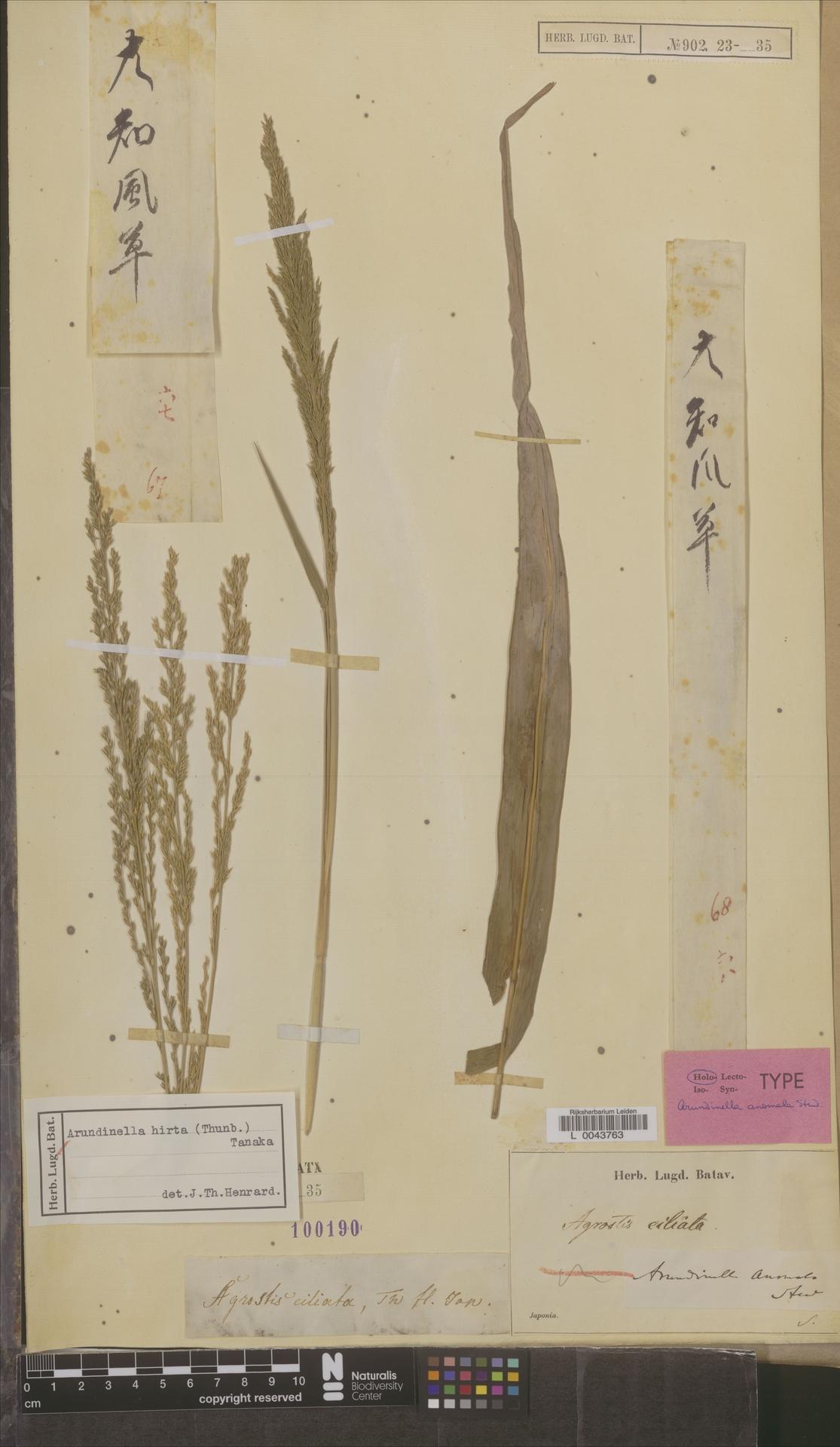 L  0043763 | Arundinella hirta (Thunb.) Tanaka