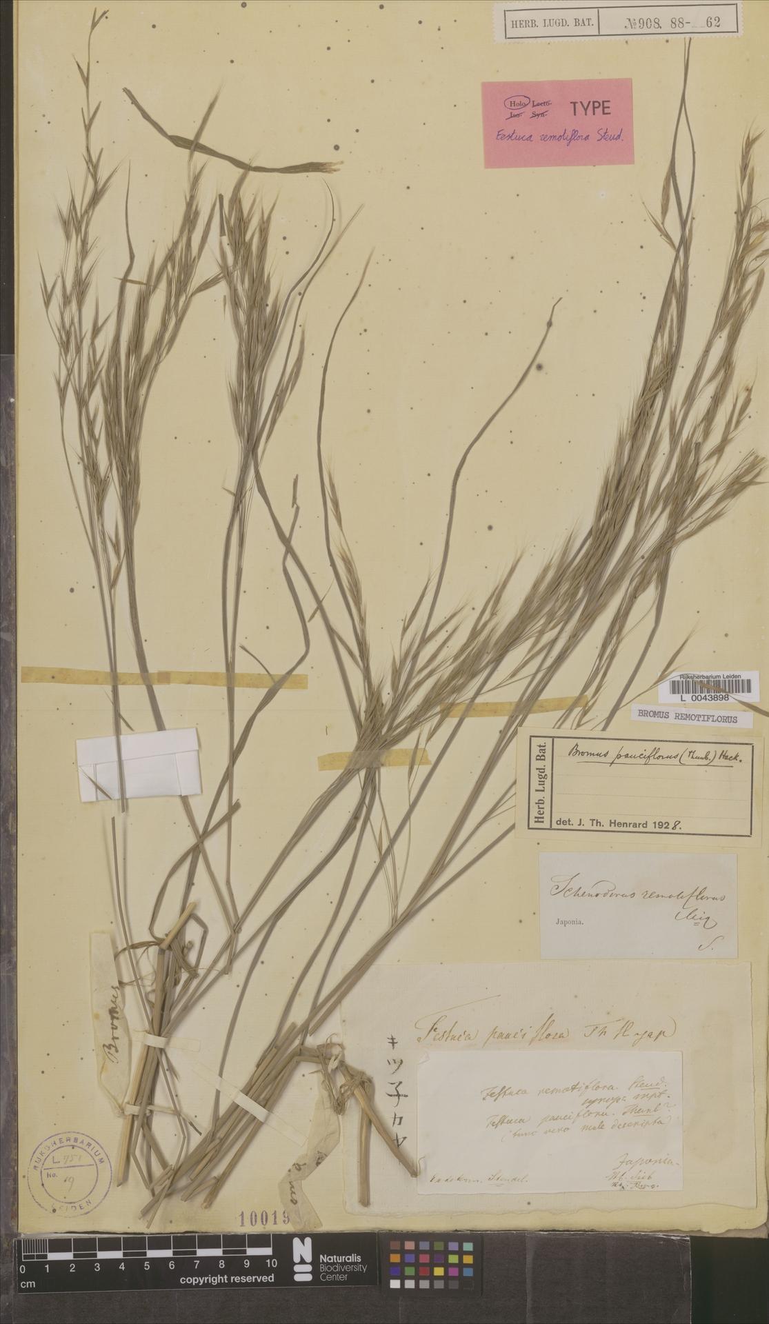 L  0043898 | Bromus remotiflorus (Steud.) Ohwi