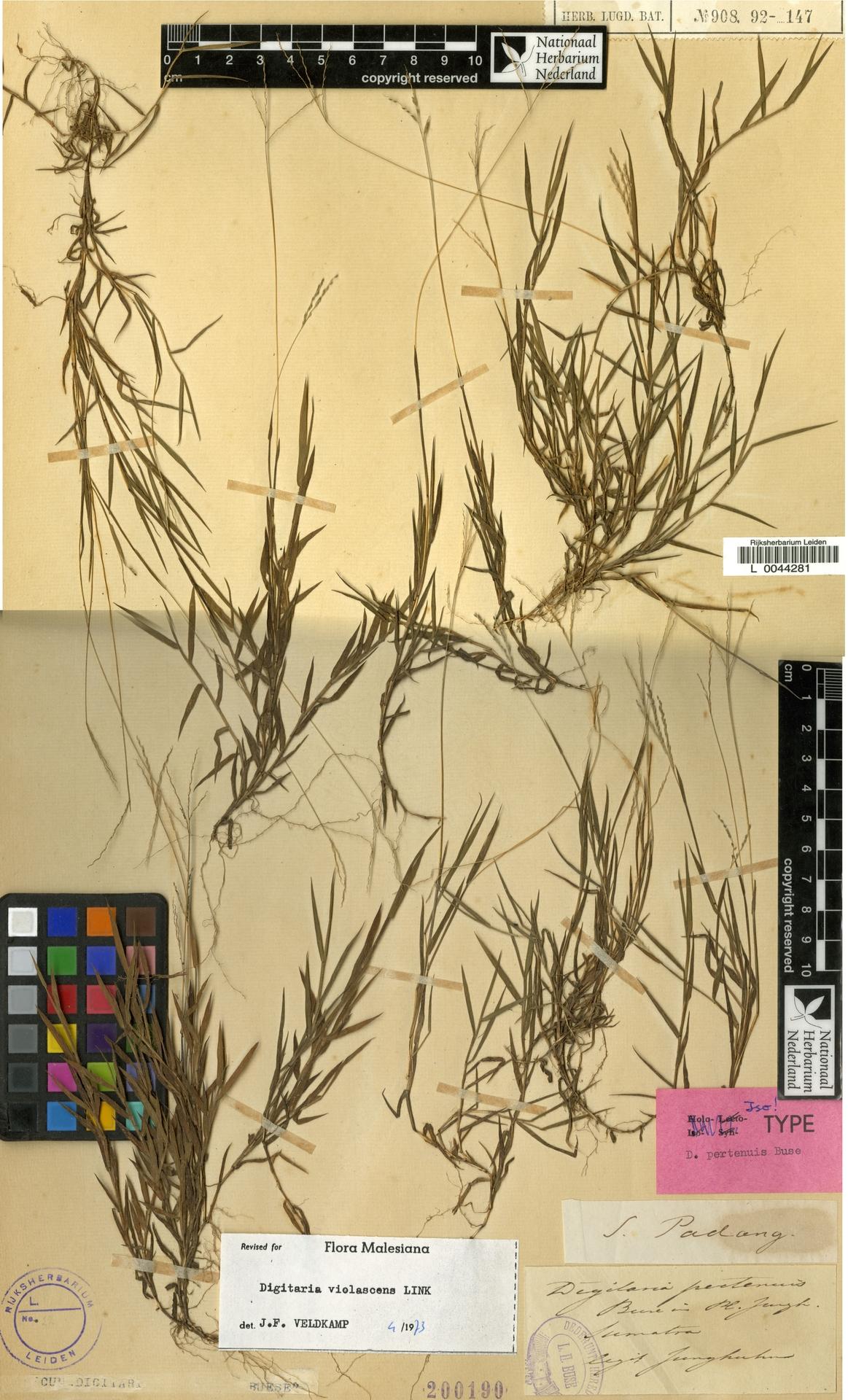 L  0044281 | Digitaria violascens Link