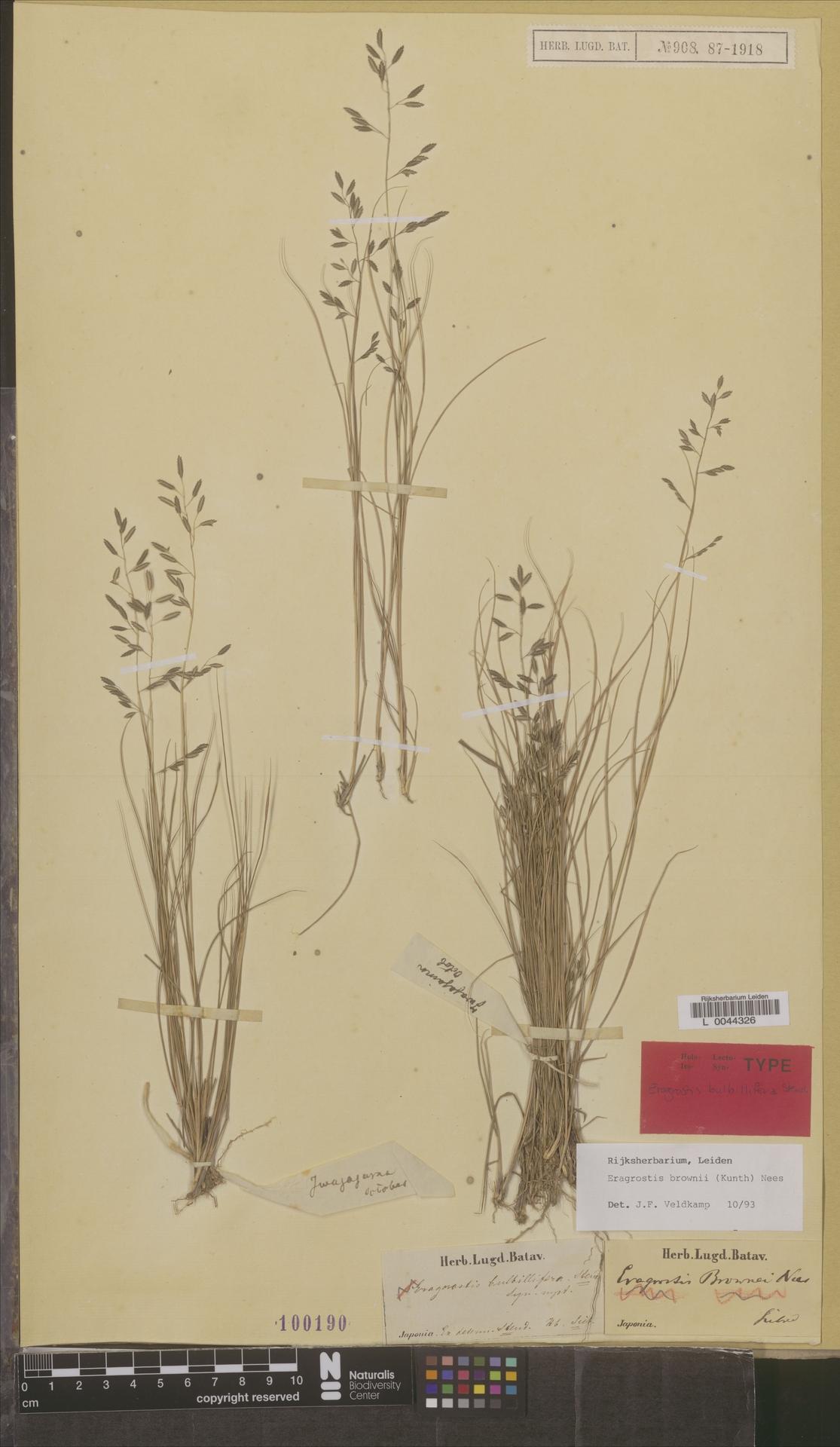 L  0044326 | Eragrostis brownii (Kunth) Nees