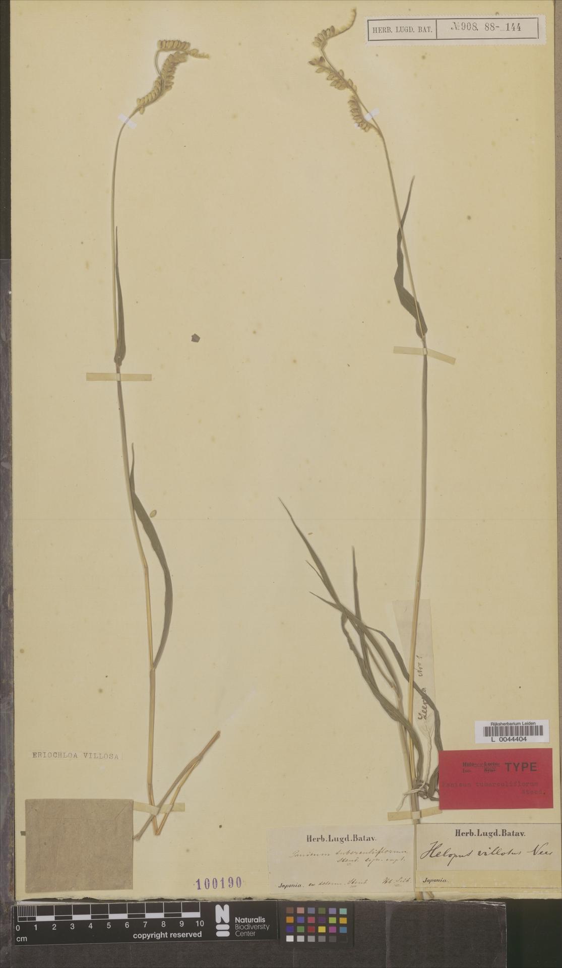 L  0044404 | Eriochloa villosa Kunth