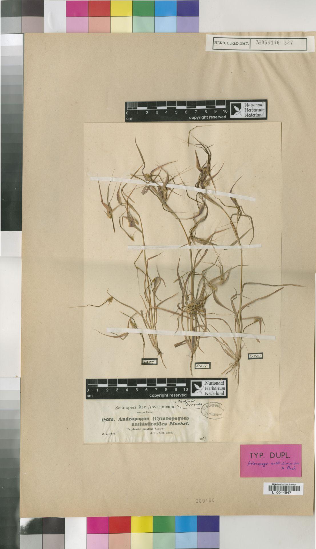 L  0044547 | Hyparrhenia anthistirioides (Hochst. ex A.Rich.) Andersson ex Stapf