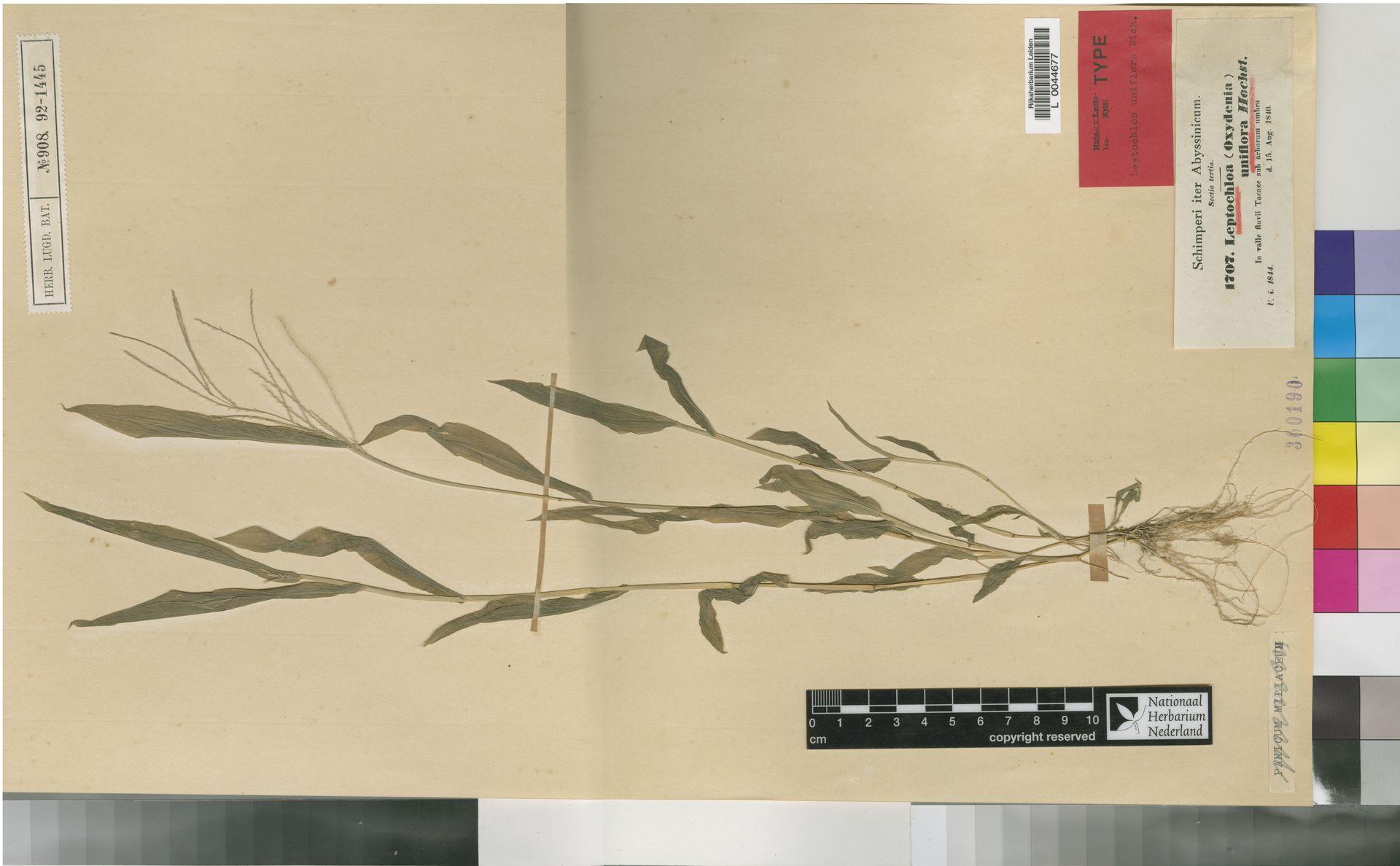 L  0044677 | Leptochloa uniflora Hochst. ex A.Rich.