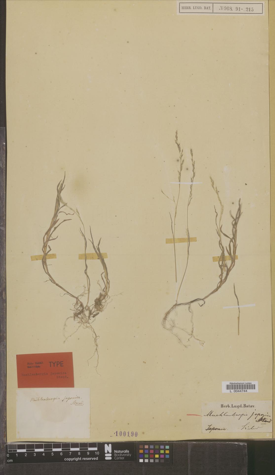 L  0044744 | Muhlenbergia japonica Steud.