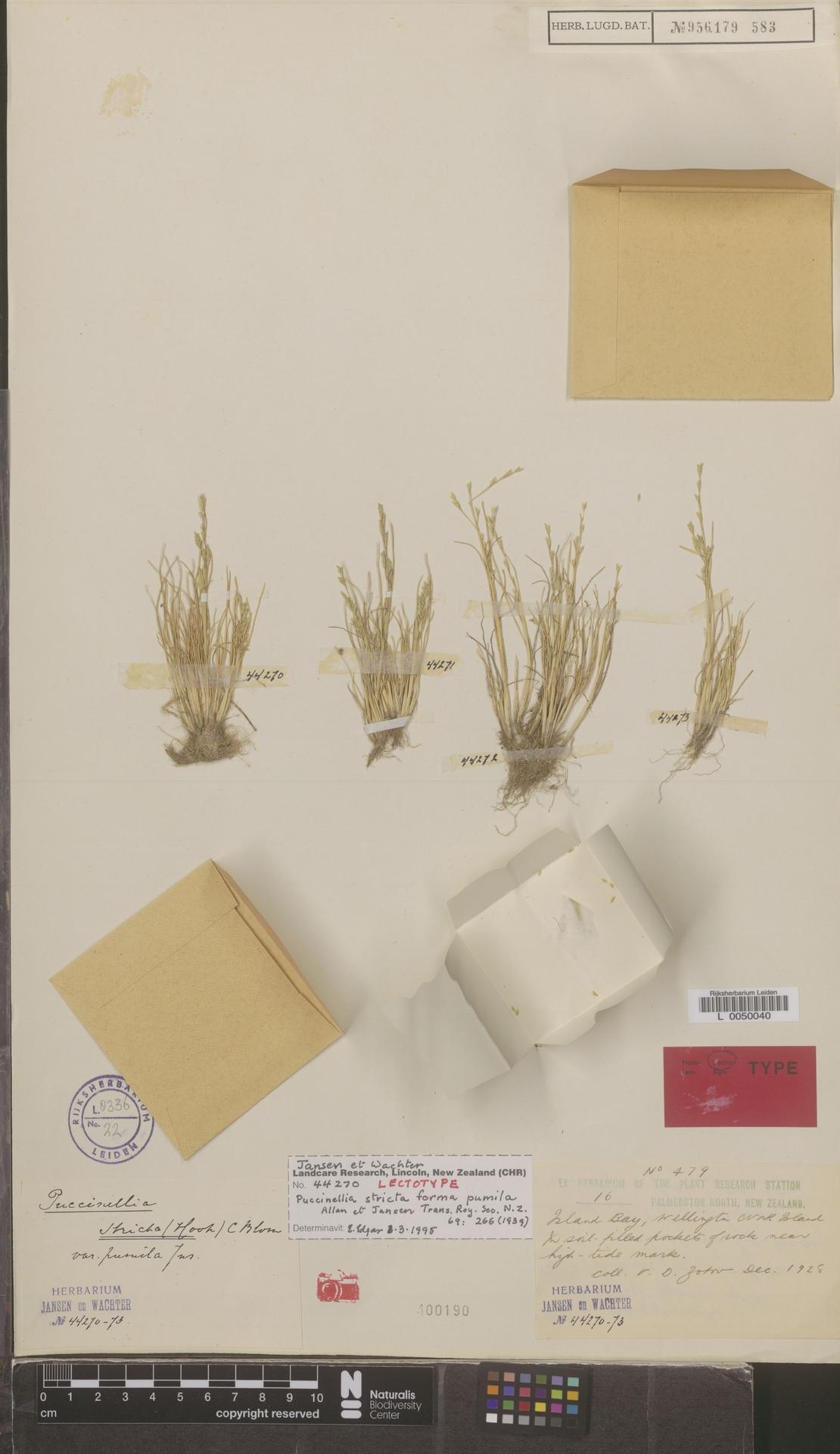 L  0050040 | Puccinellia stricta var. pumila Allan & Jansen