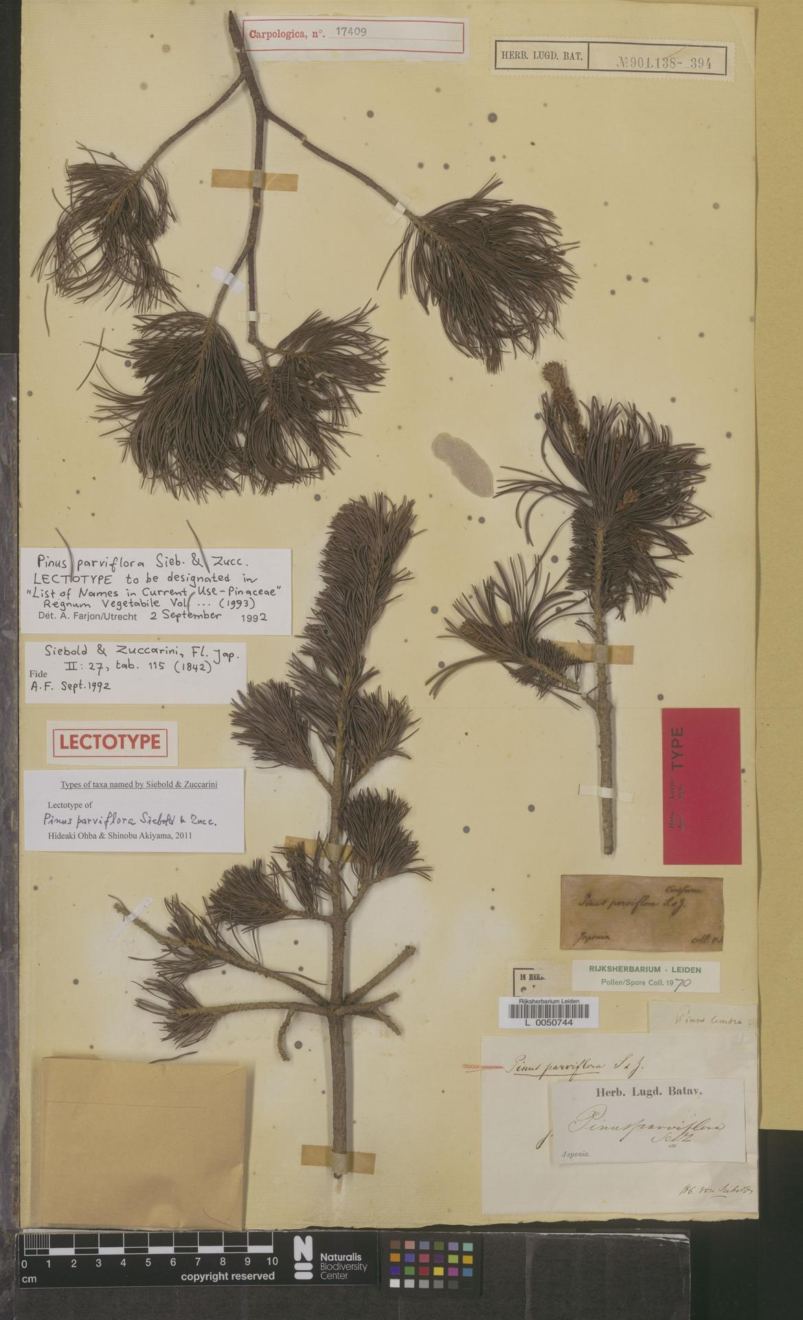 L  0050744 | Pinus parviflora Siebold & Zucc.