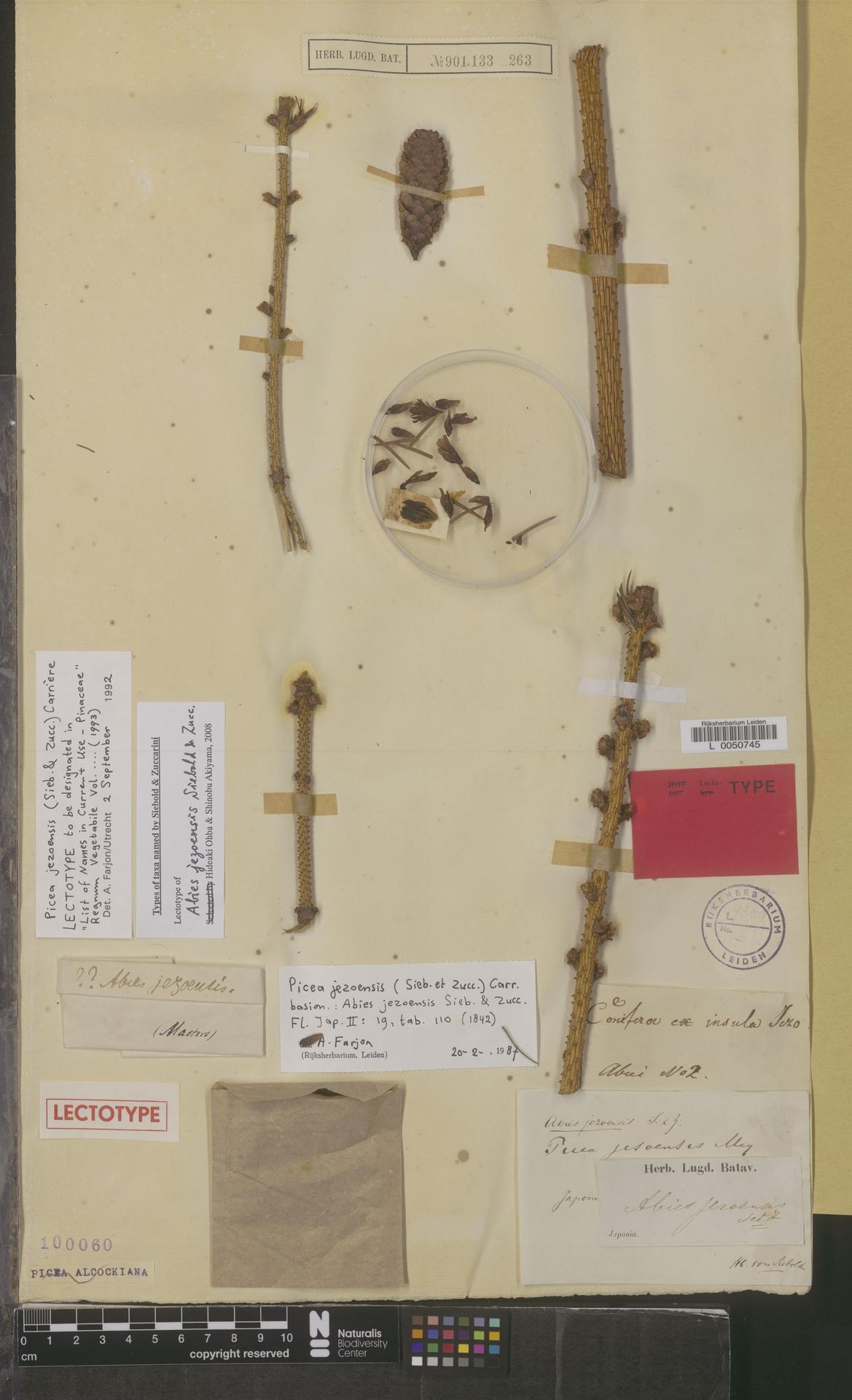 L  0050745   Picea jezoensis (Siebold & Zucc.) Carrière