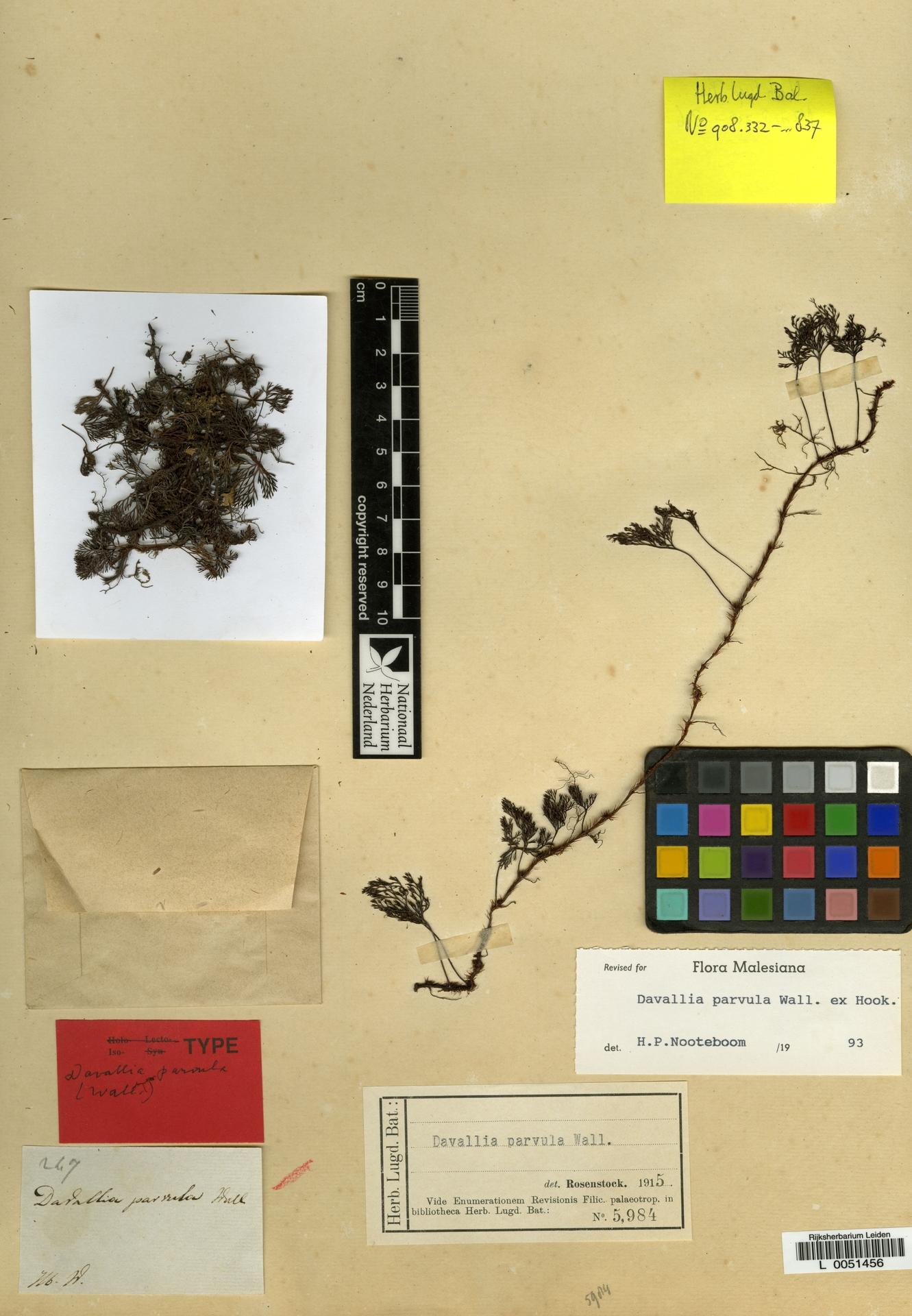 L  0051456 | Davallia pulchra D.Don