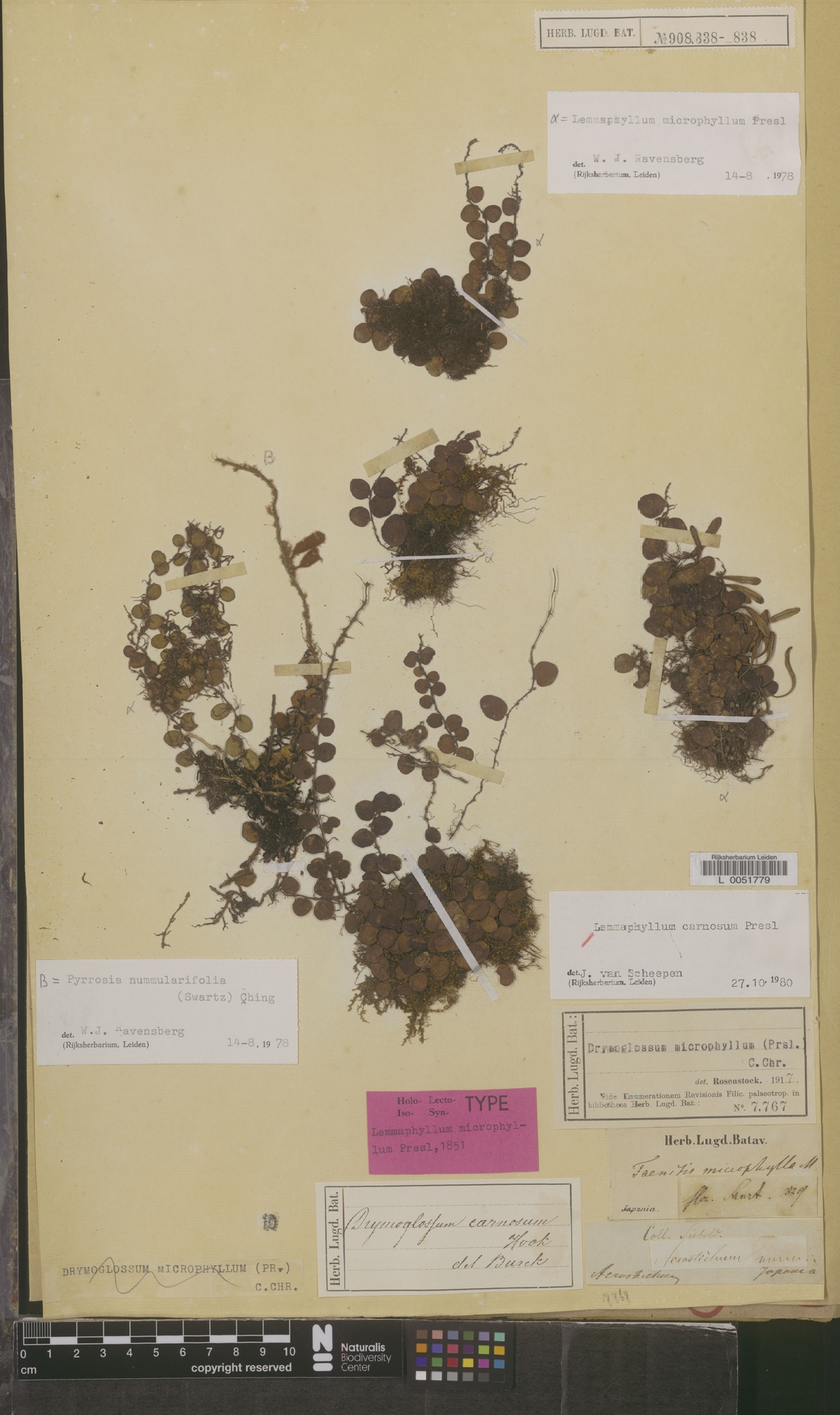 L  0051779 | Lemmaphyllum carnosum C.Presl
