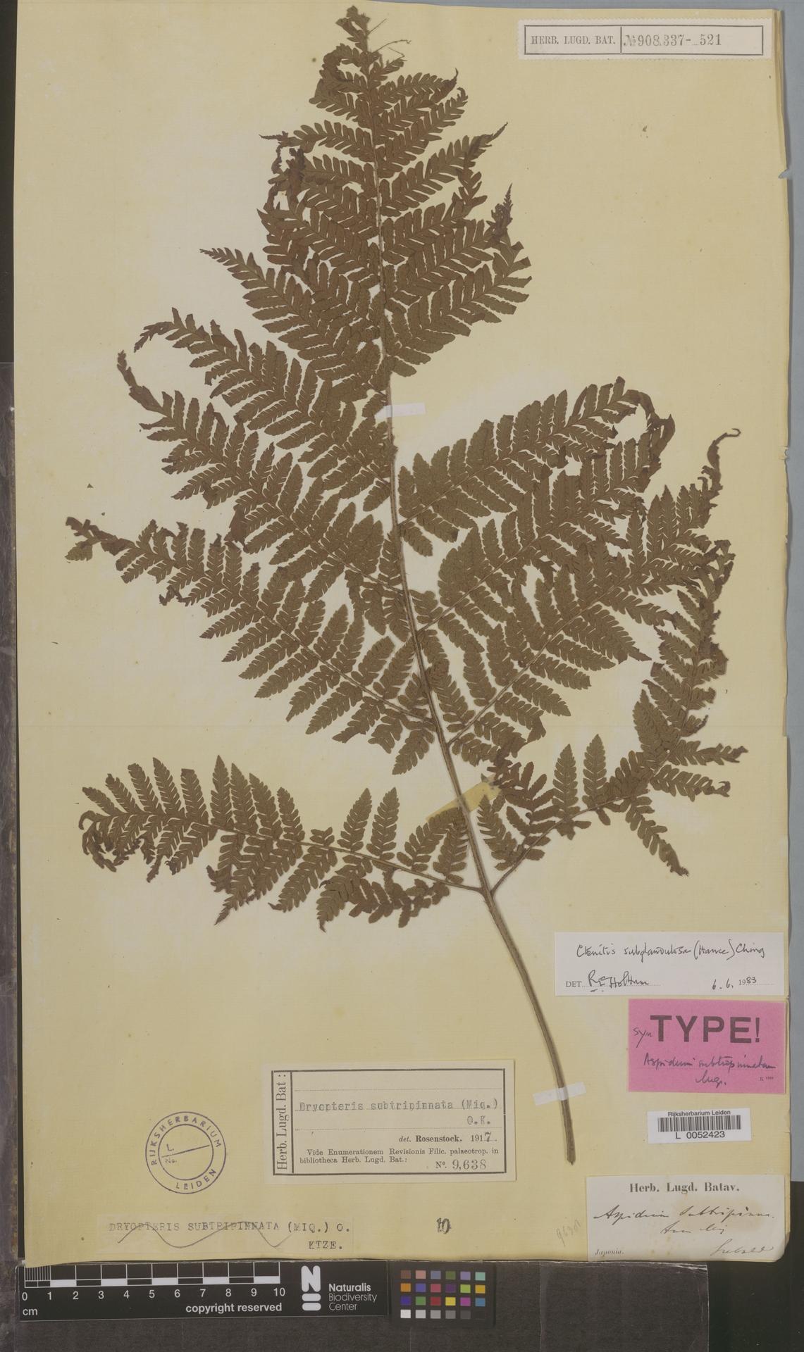 L  0052423 | Ctenitis subglandulosa (Hance) Ching