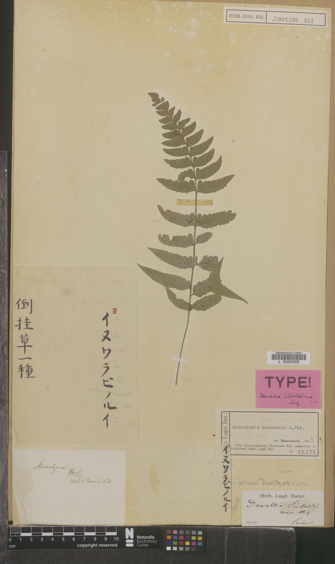 L  0052429 | Microlepia majuscula C.Chr.