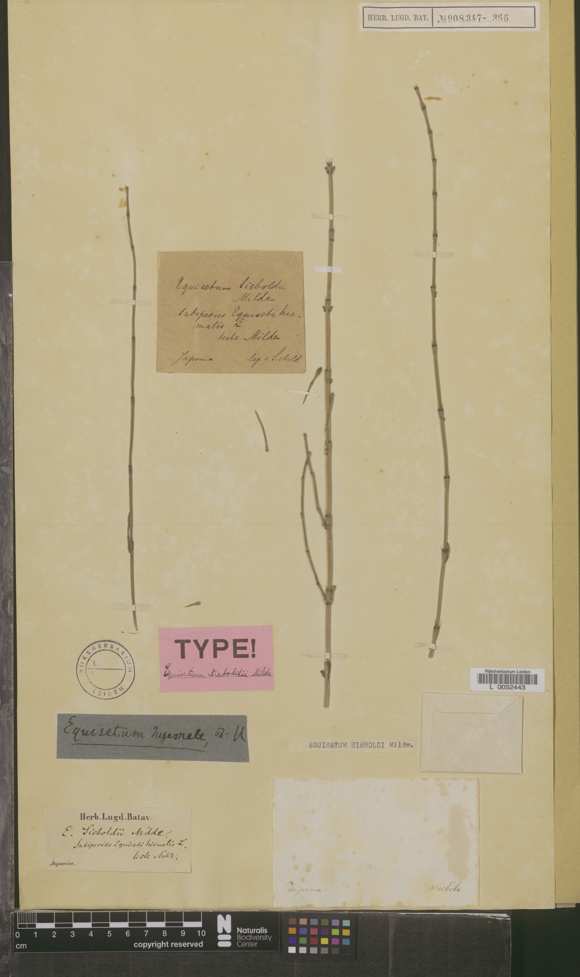 L  0052443 | Equisetum sieboldi Milde