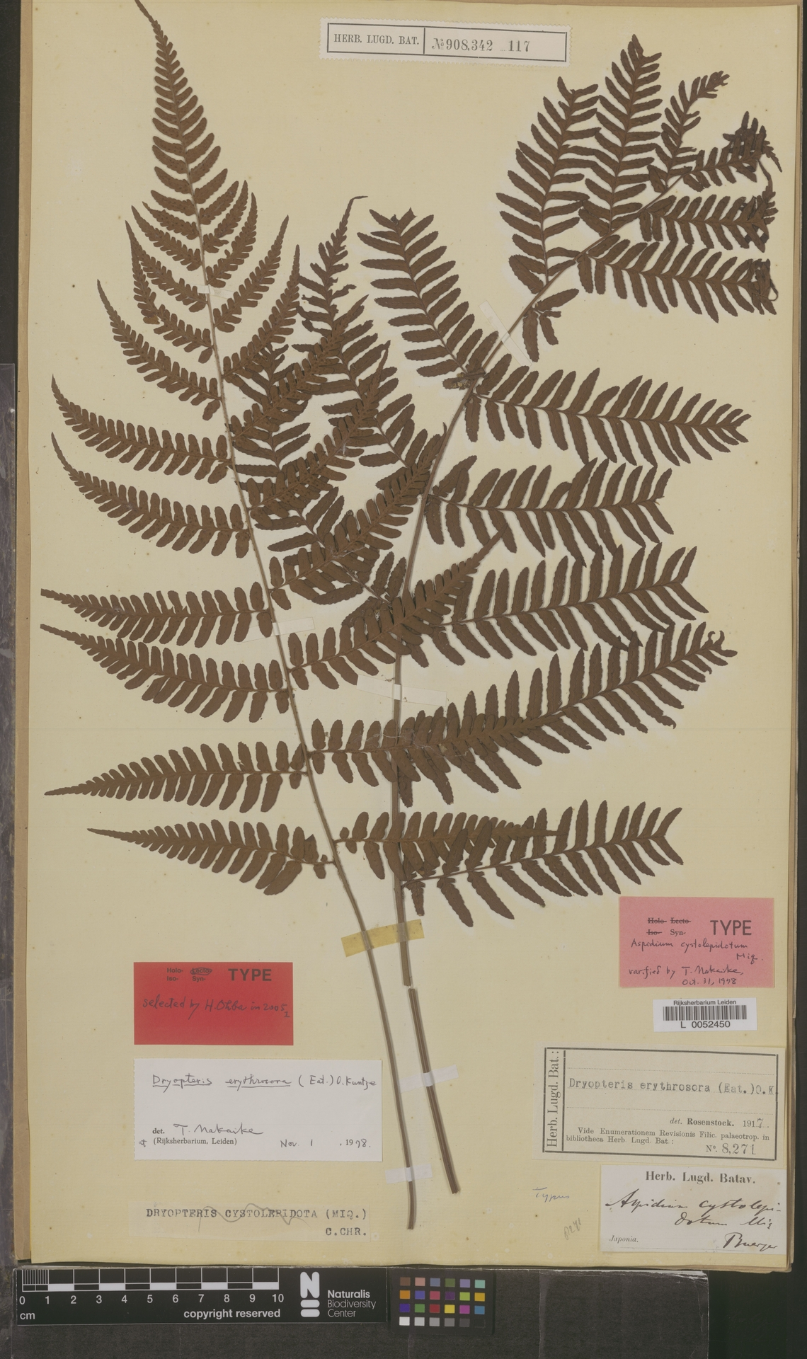 L  0052450   Dryopteris erythrosora (Eaton) Kuntze
