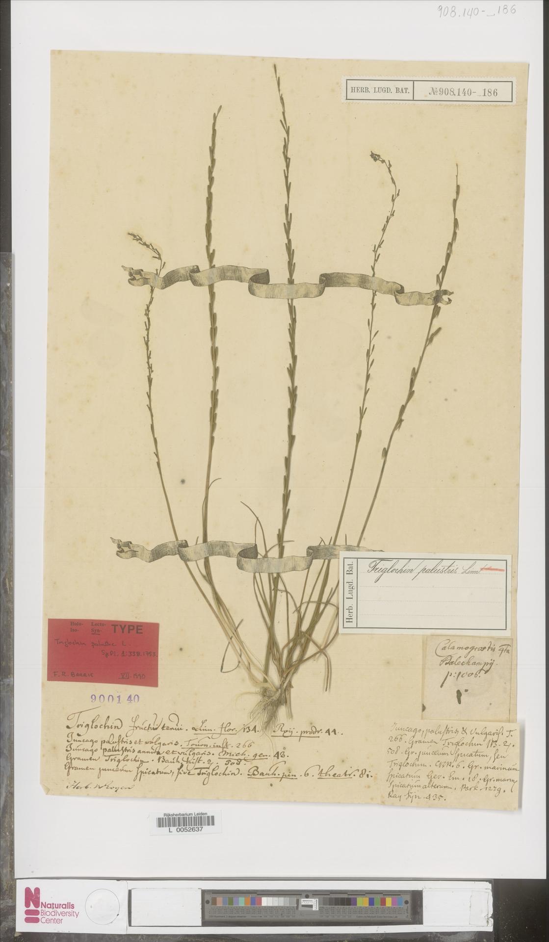 L  0052637 | Triglochin palustris L.