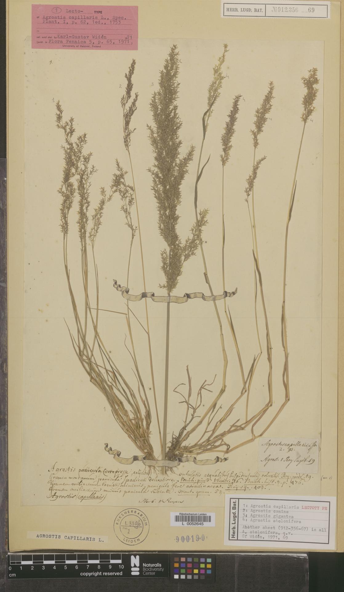 L  0052645   Agrostis capillaris L.