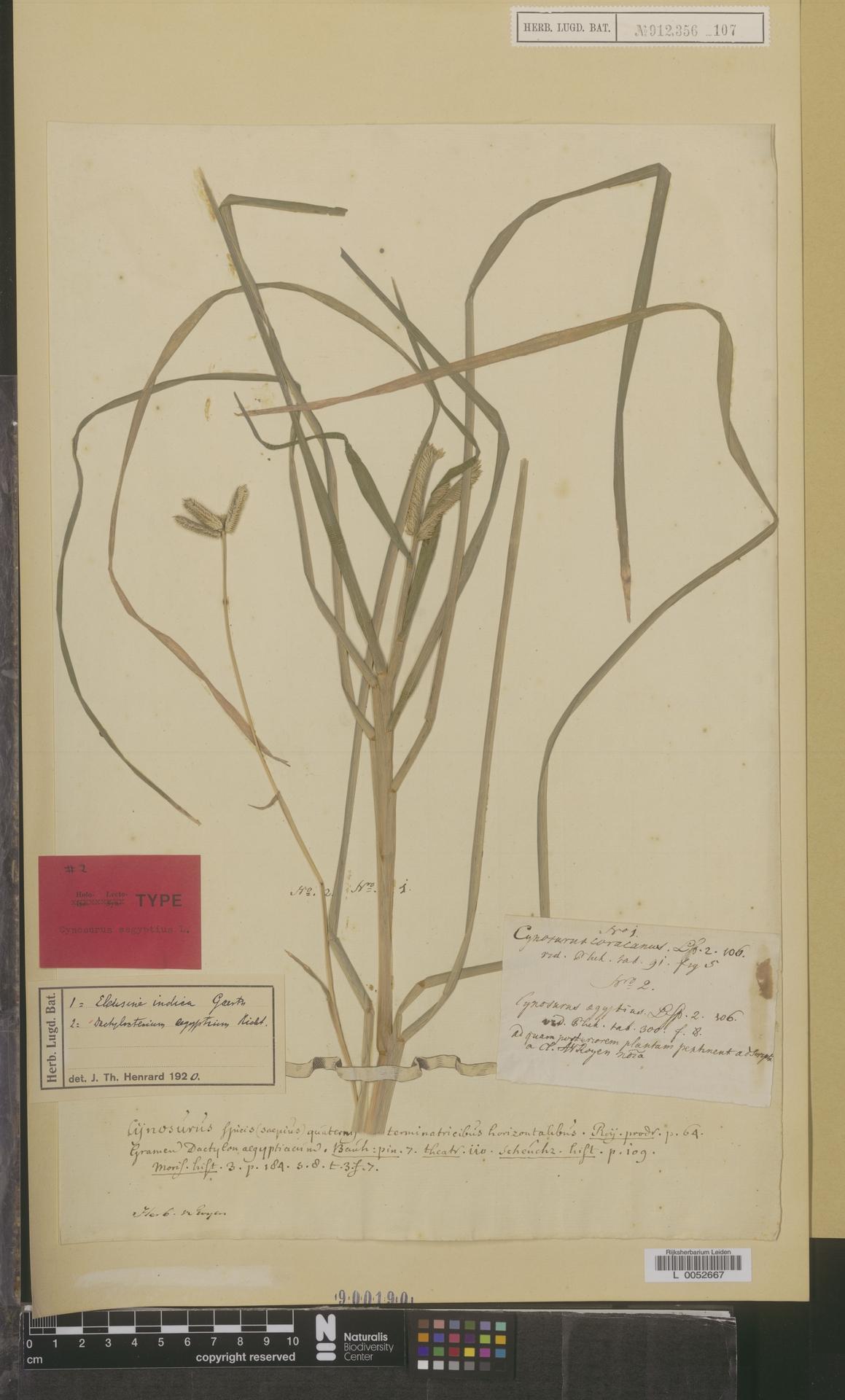 L  0052667 | Dactyloctenium aegyptium (L.) Willd.