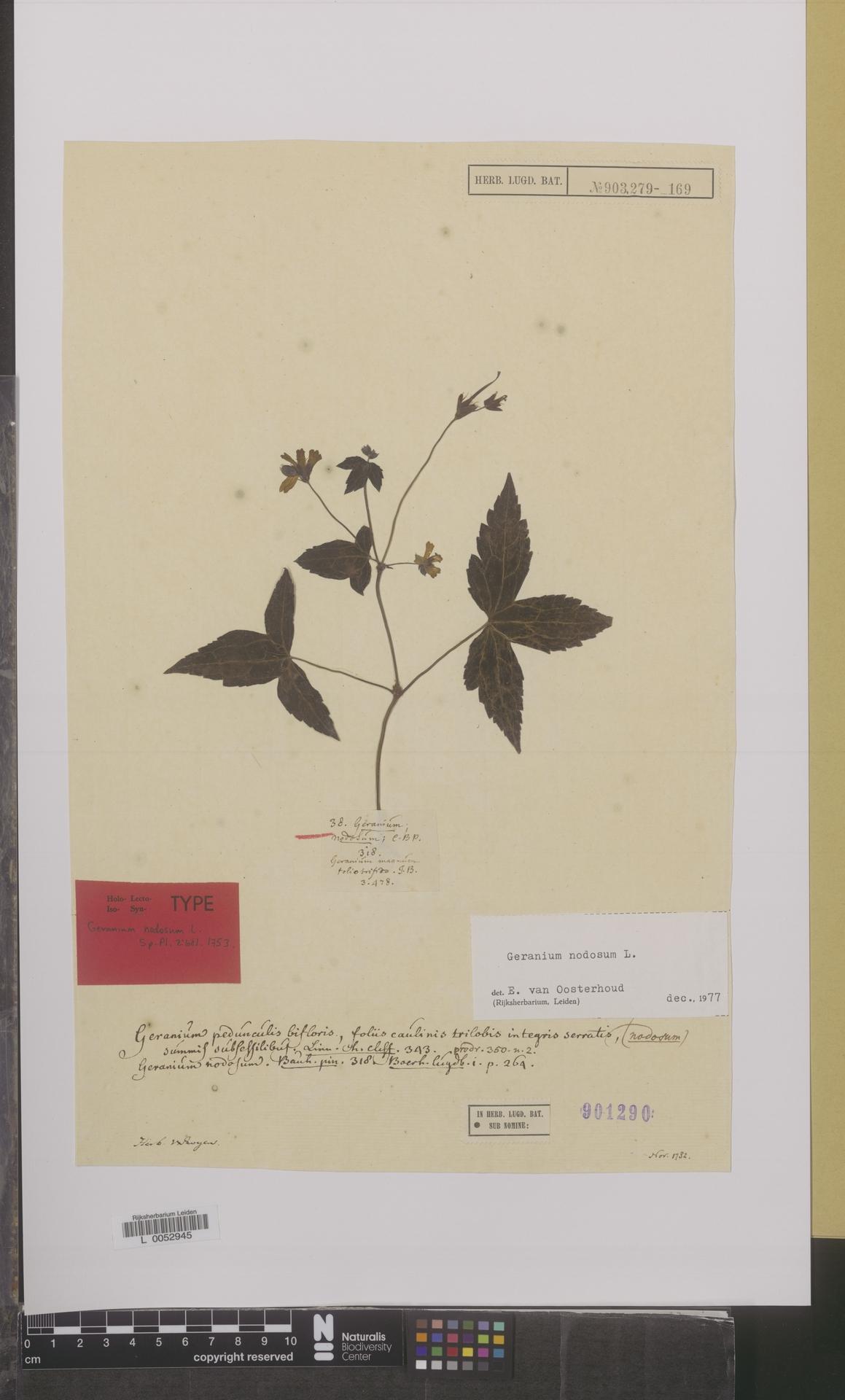 L  0052945 | Geranium nodosum L.