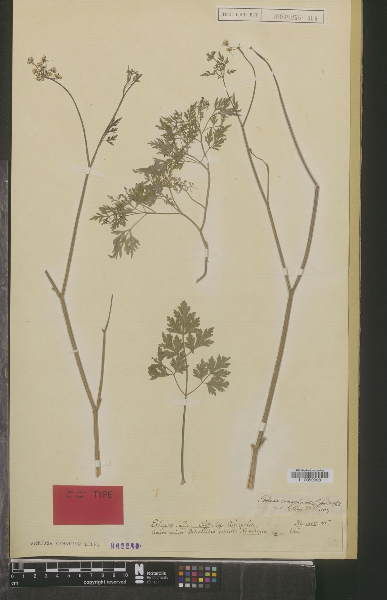 L  0052998 | Aethusa cynapium L.