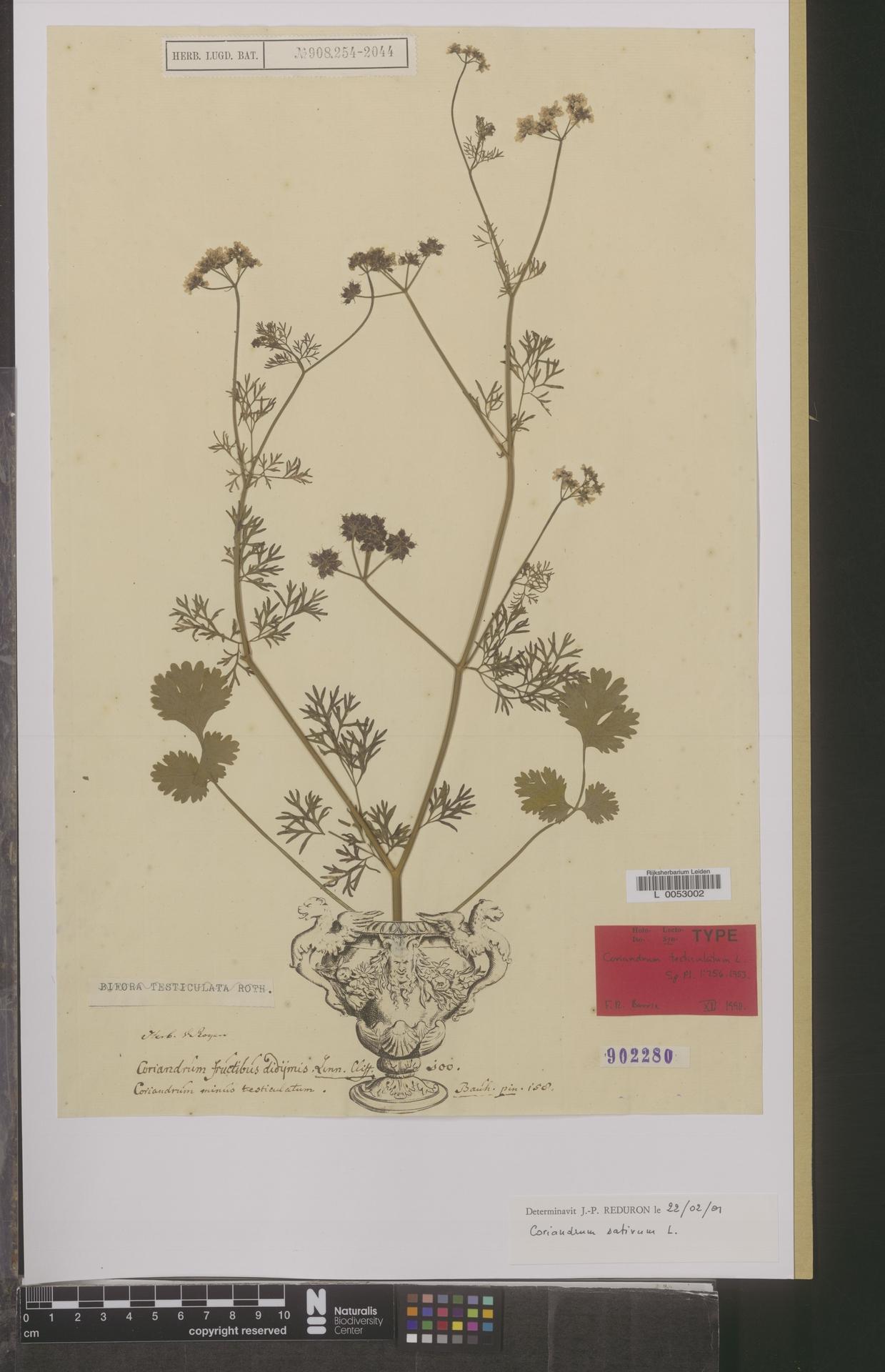 L  0053002 | Coriandrum sativum L.
