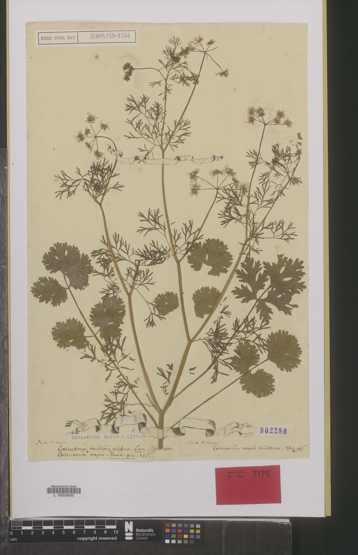 L  0053005 | Coriandrum sativum L.