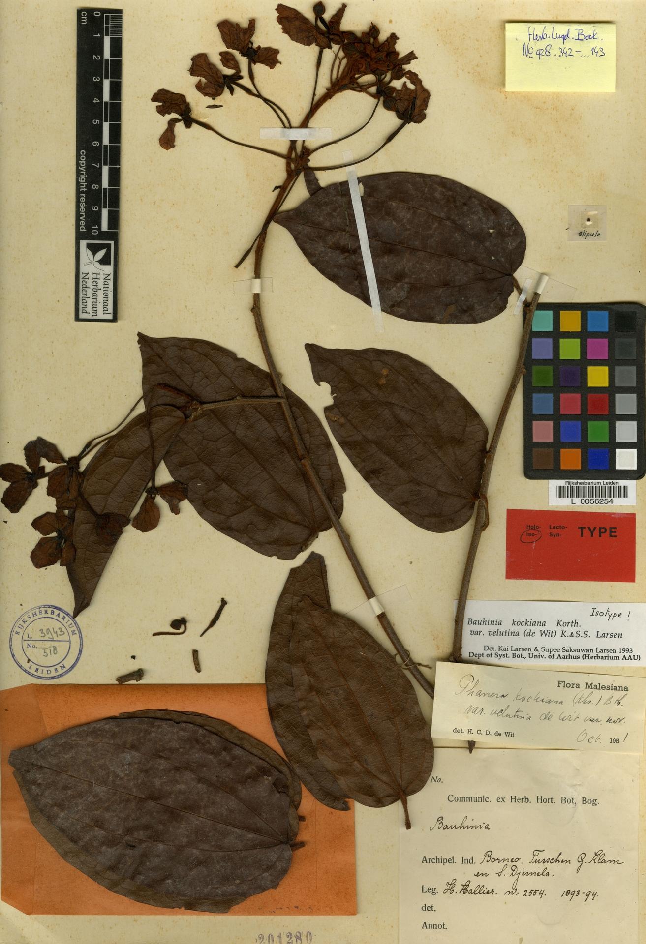 L  0056254 | Bauhinia kockiana var. velutina (de Wit) K.Larsen & S.S.Larsen