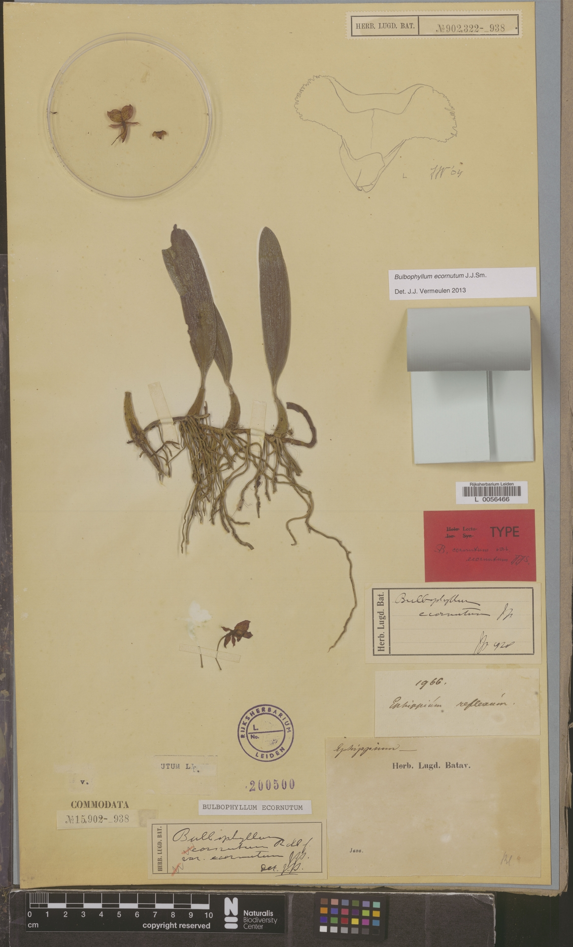 L  0056466 | Bulbophyllum ecornutum (J.J.Sm.) J.J.Sm.