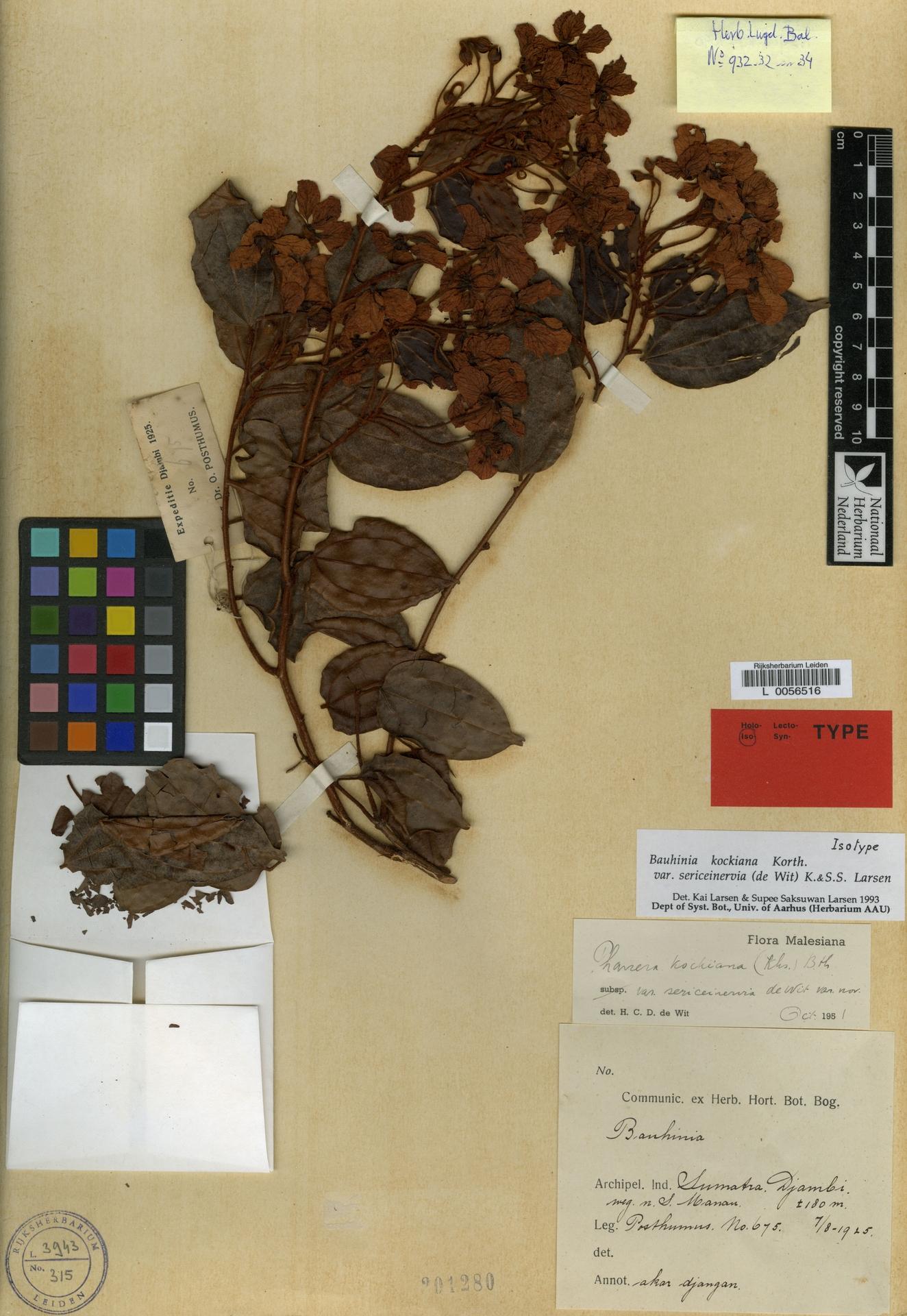 L  0056516 | Bauhinia kockiana var. sericeinervia (de Wit) K.Larsen & S.S.Larsen