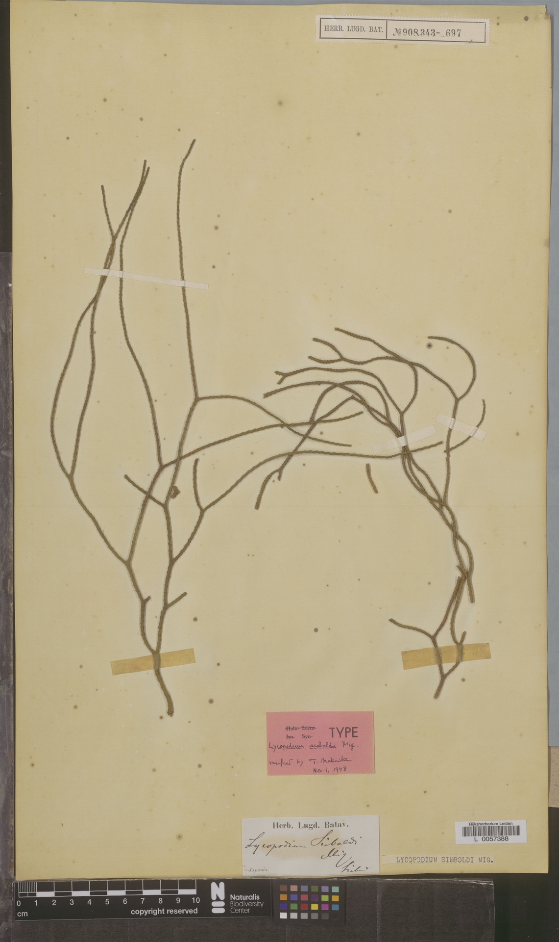 L  0057388 | Lycopodium sieboldi Miq.